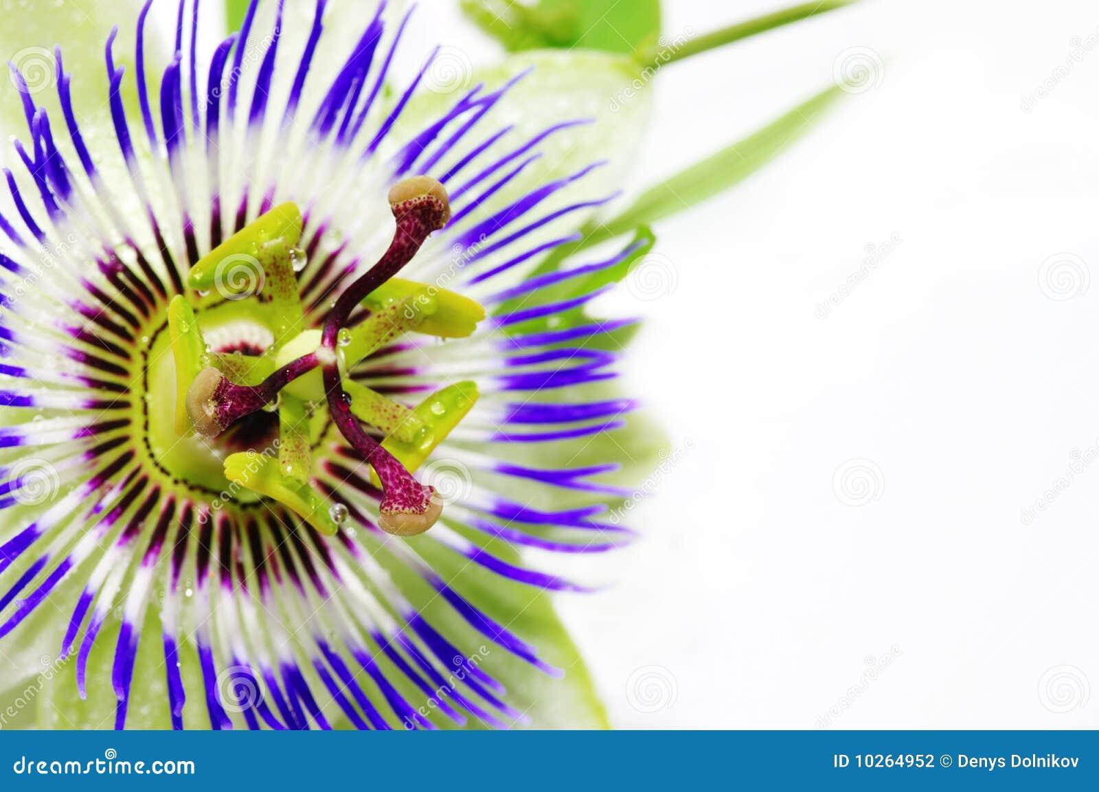 Passionflower purpury