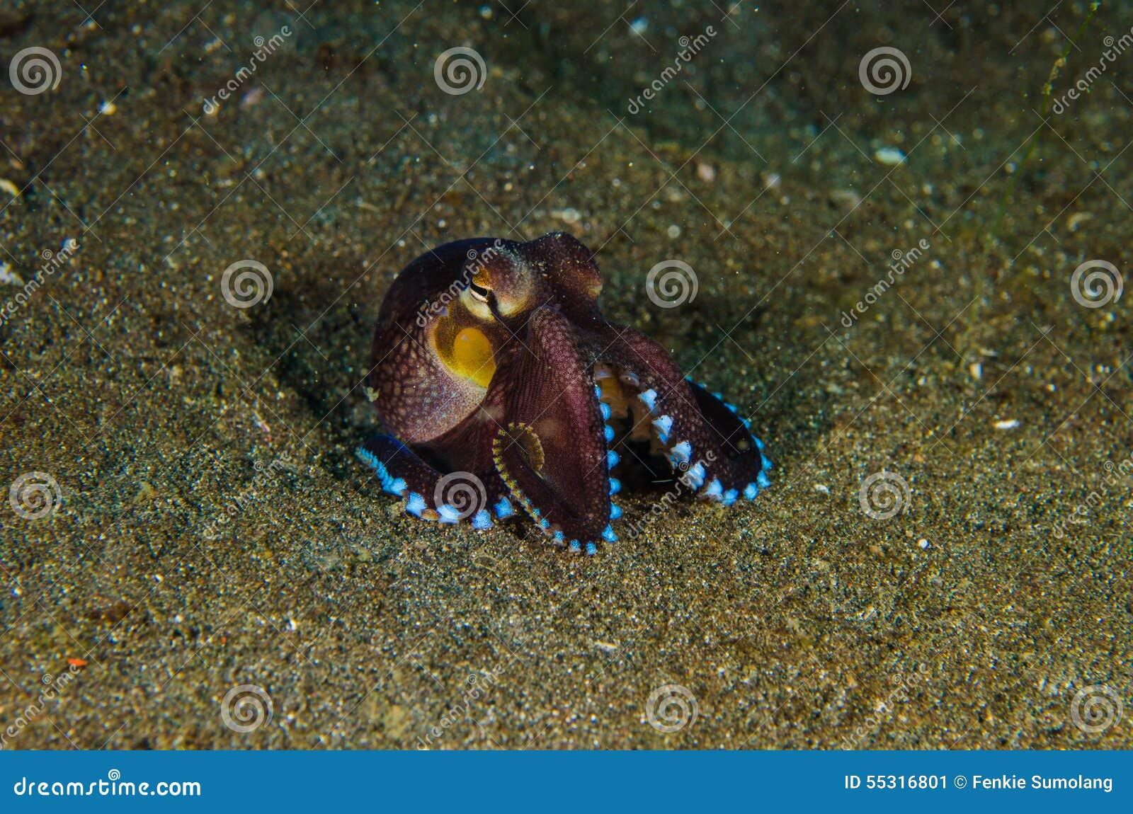 Passo Indonésia do lembeh do polvo do mergulho autônomo subaquática