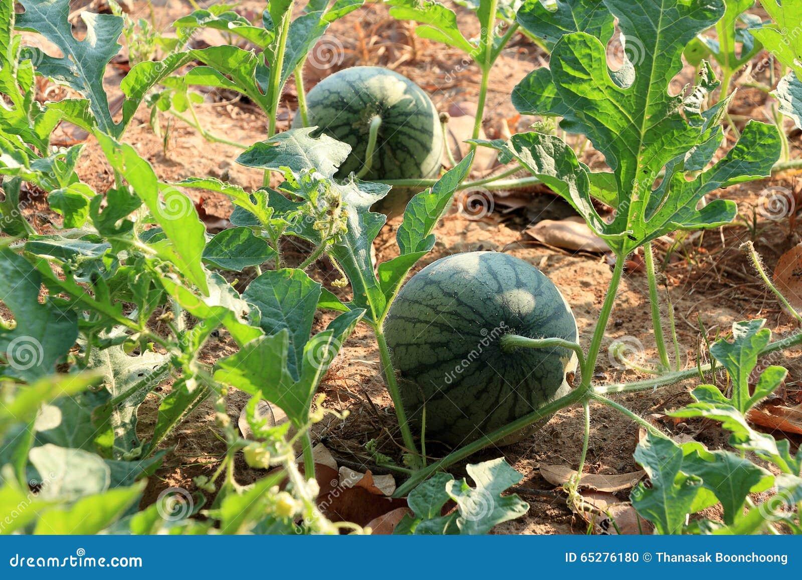 pastèque dans le jardin photo stock. image du melon, arbre - 65276180