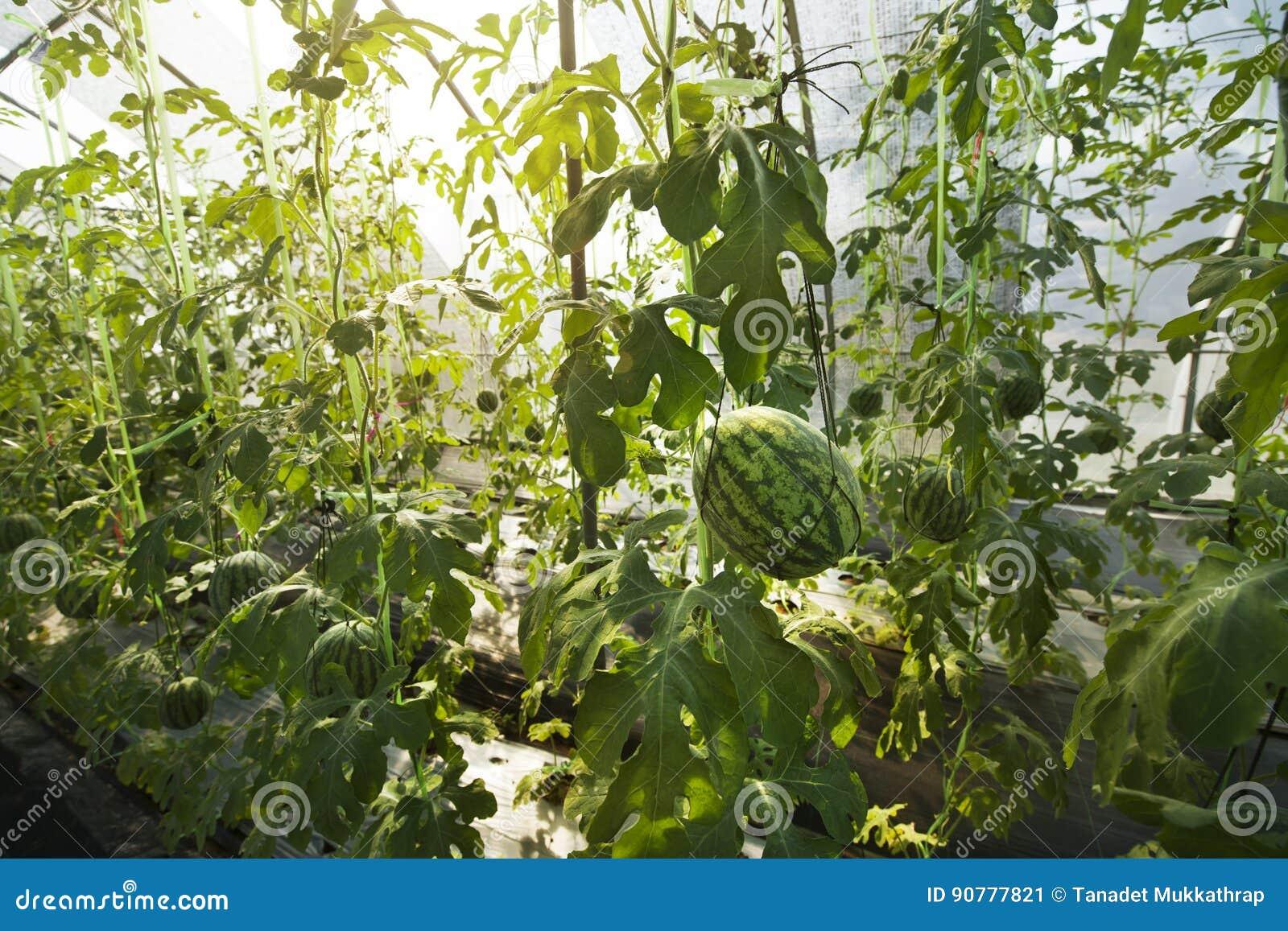 pastèque en serre chaude image stock. image du ferme - 90777821