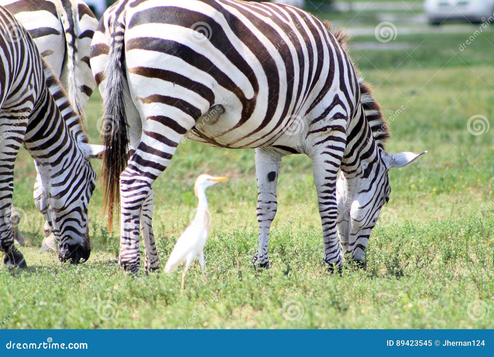 Pastagem das zebras e um pássaro
