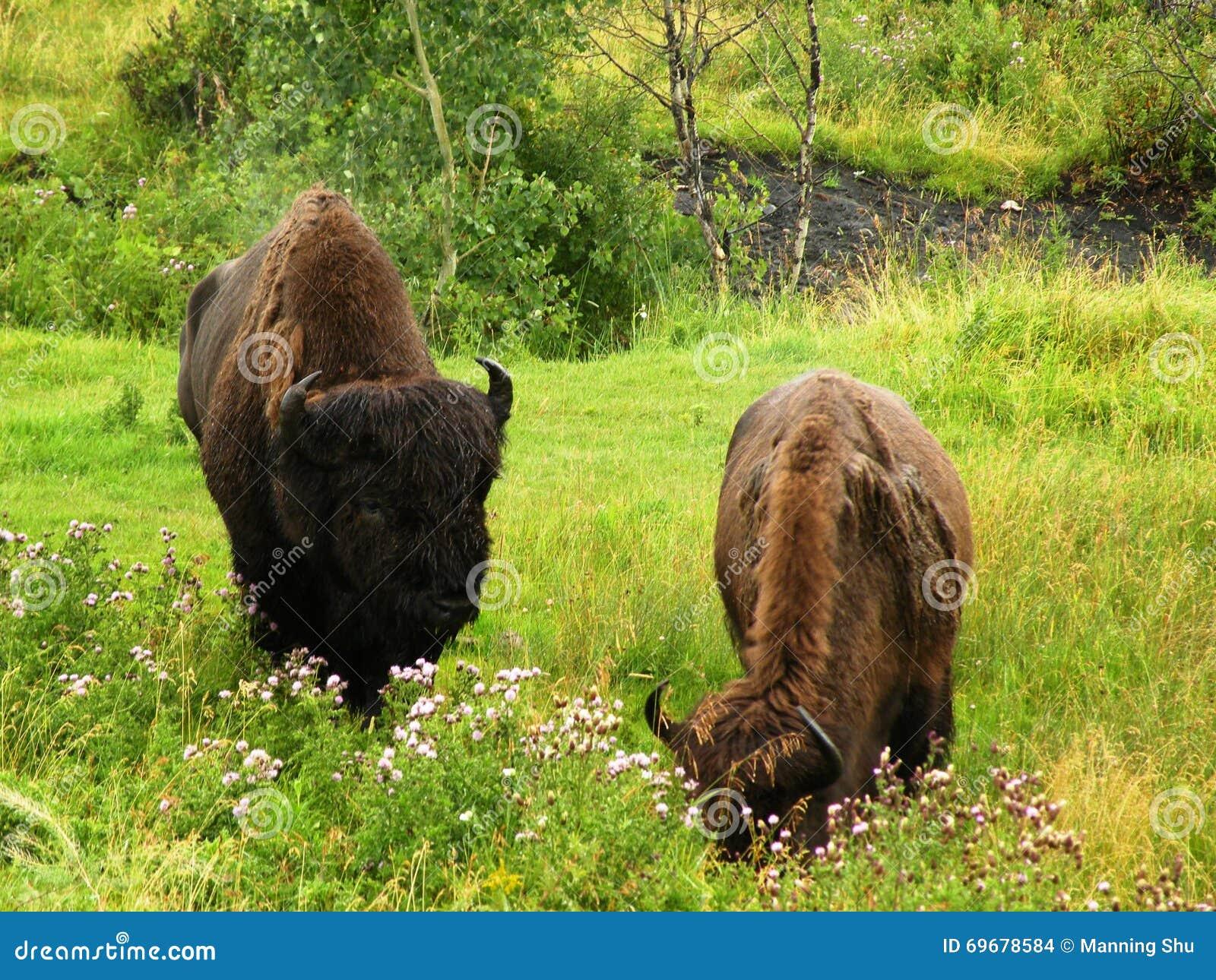 Pastando o bisonte