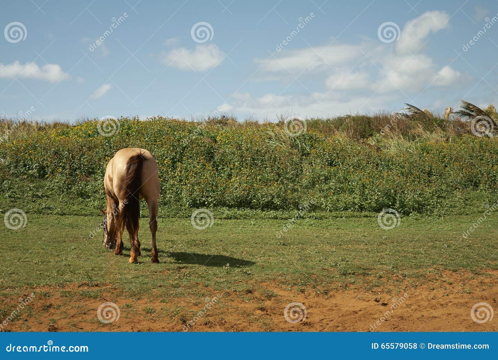 Pastando o cavalo - Kauai, Havaí