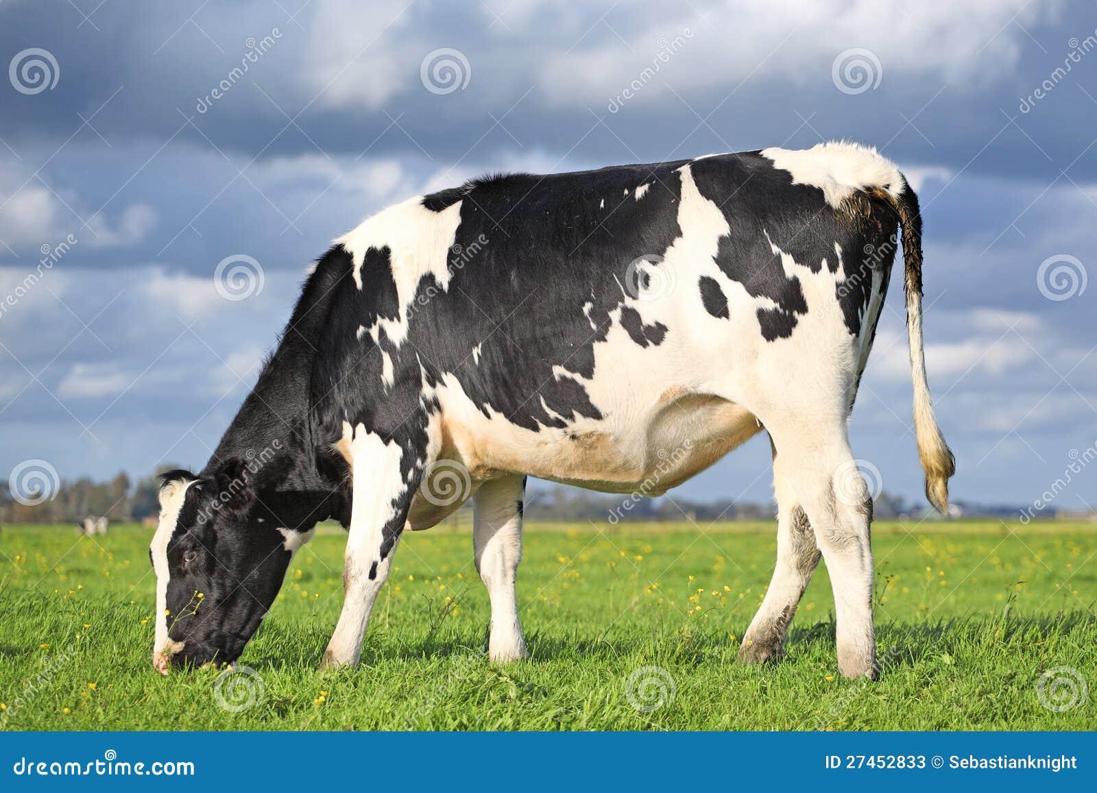 Pastando a vaca