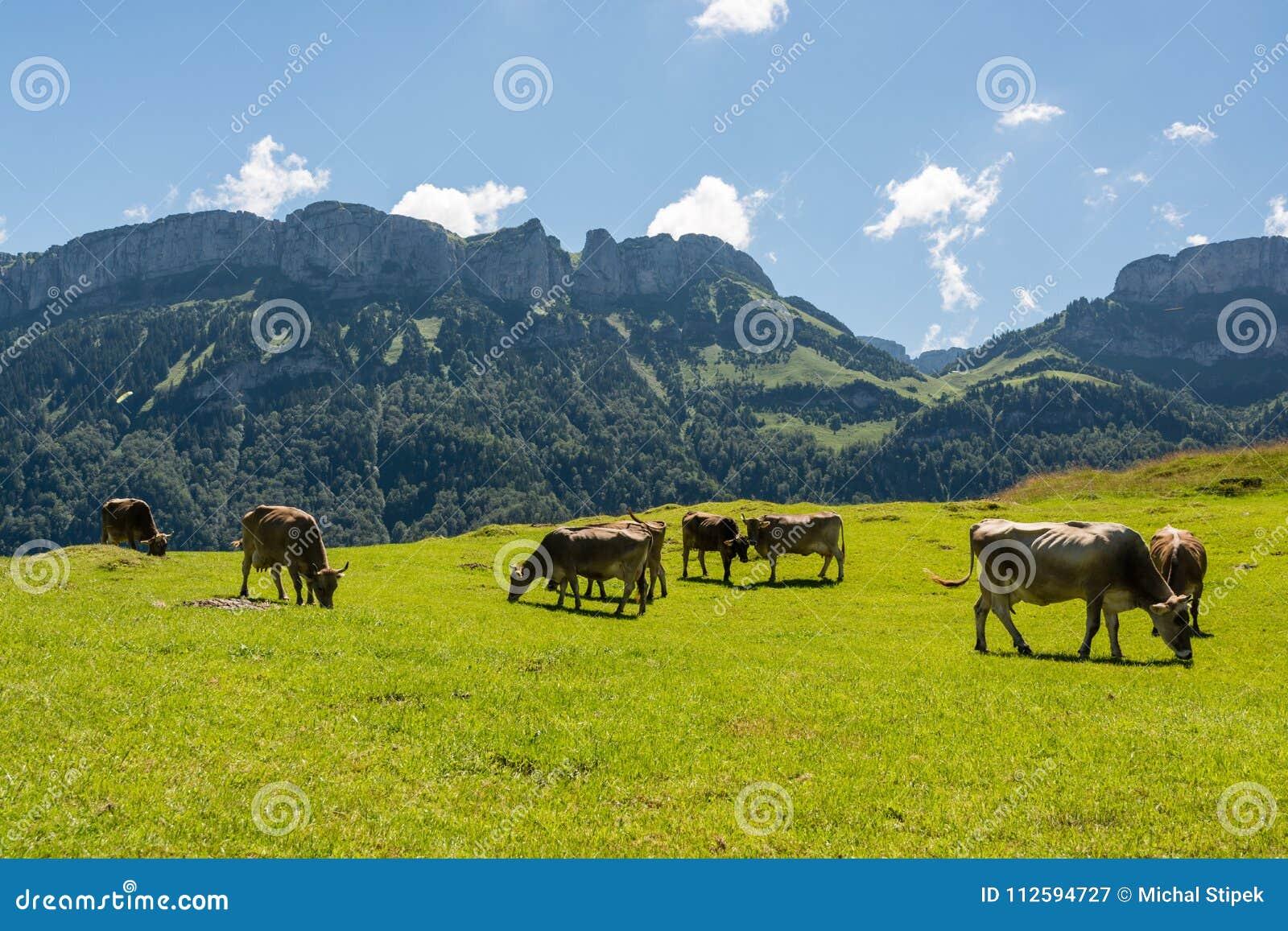 Pastando vacas em cumes bonitos de Appenzell