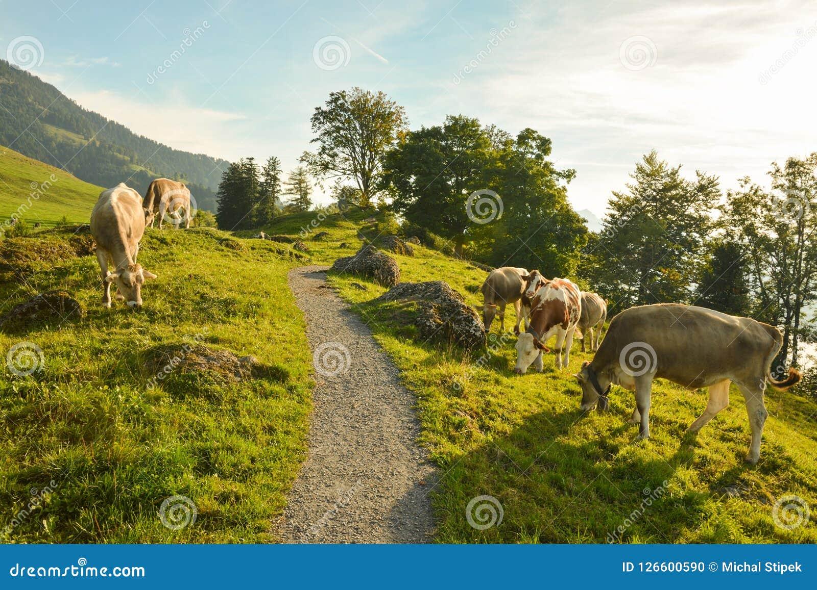 Pastando vacas em Seebodenalp acima da cidade de Kussnacht