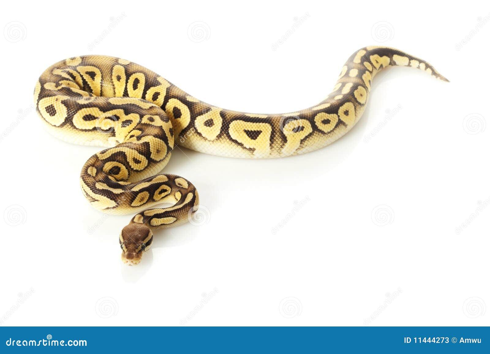 Pastave ball python  Python