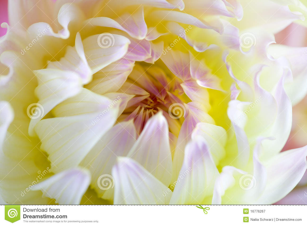 Pastel Colored Dahlia Flower Royalty Free Stock graphy Image