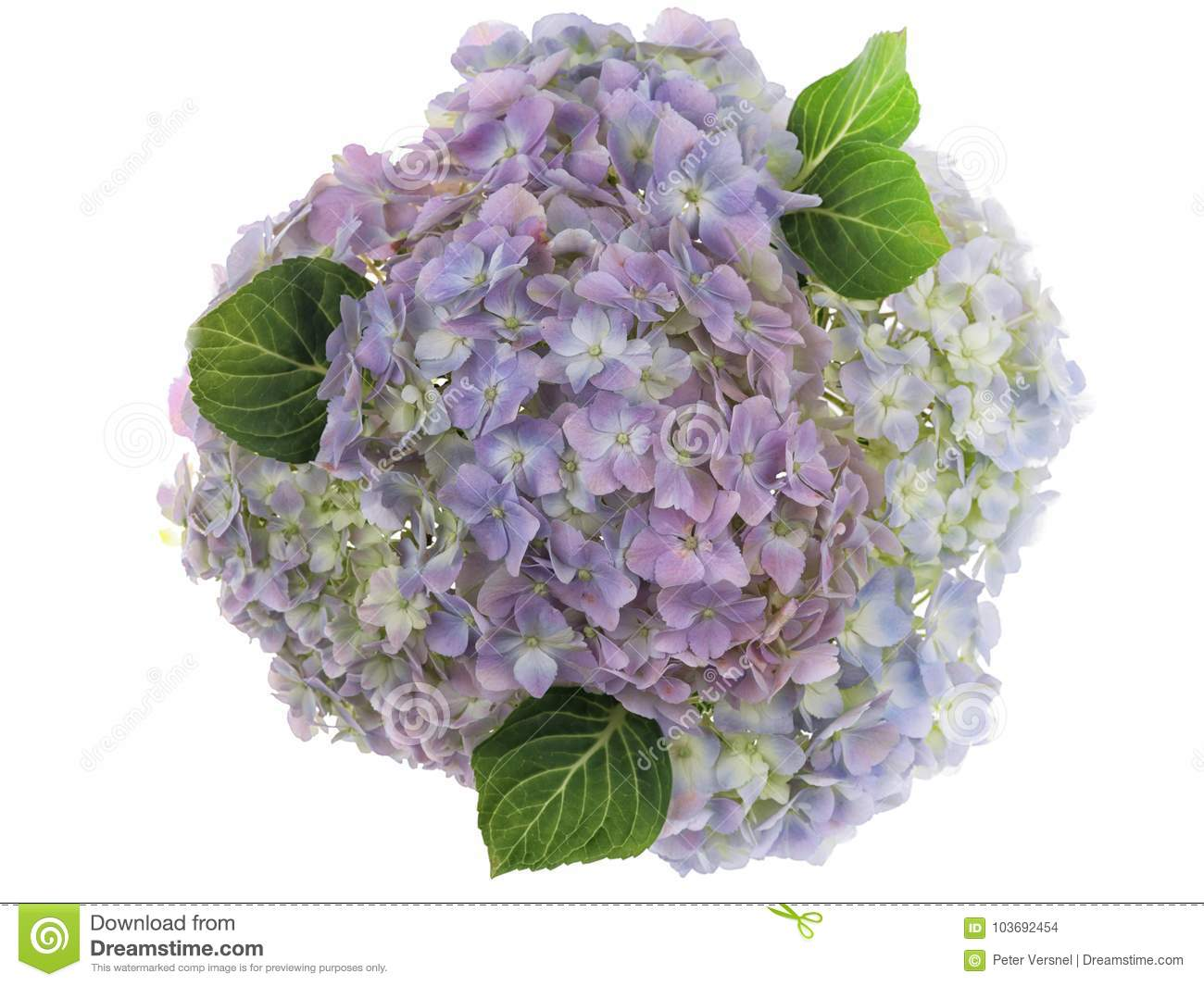 Pastel Colored Group Of Photographed Fresh Hydrangea Flowers On