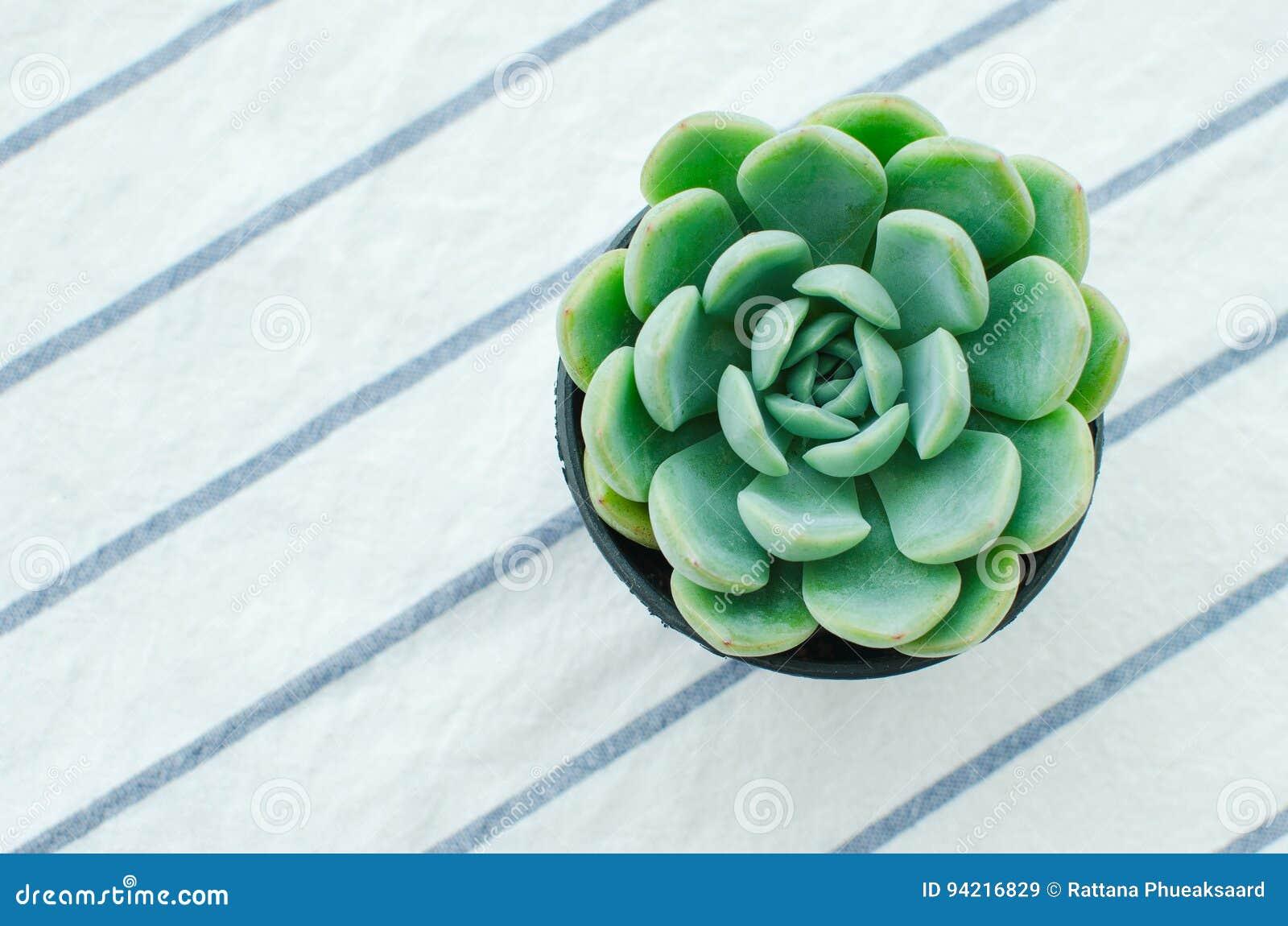 Pastel Green Rosette flowering Plant Echeveria Succulent