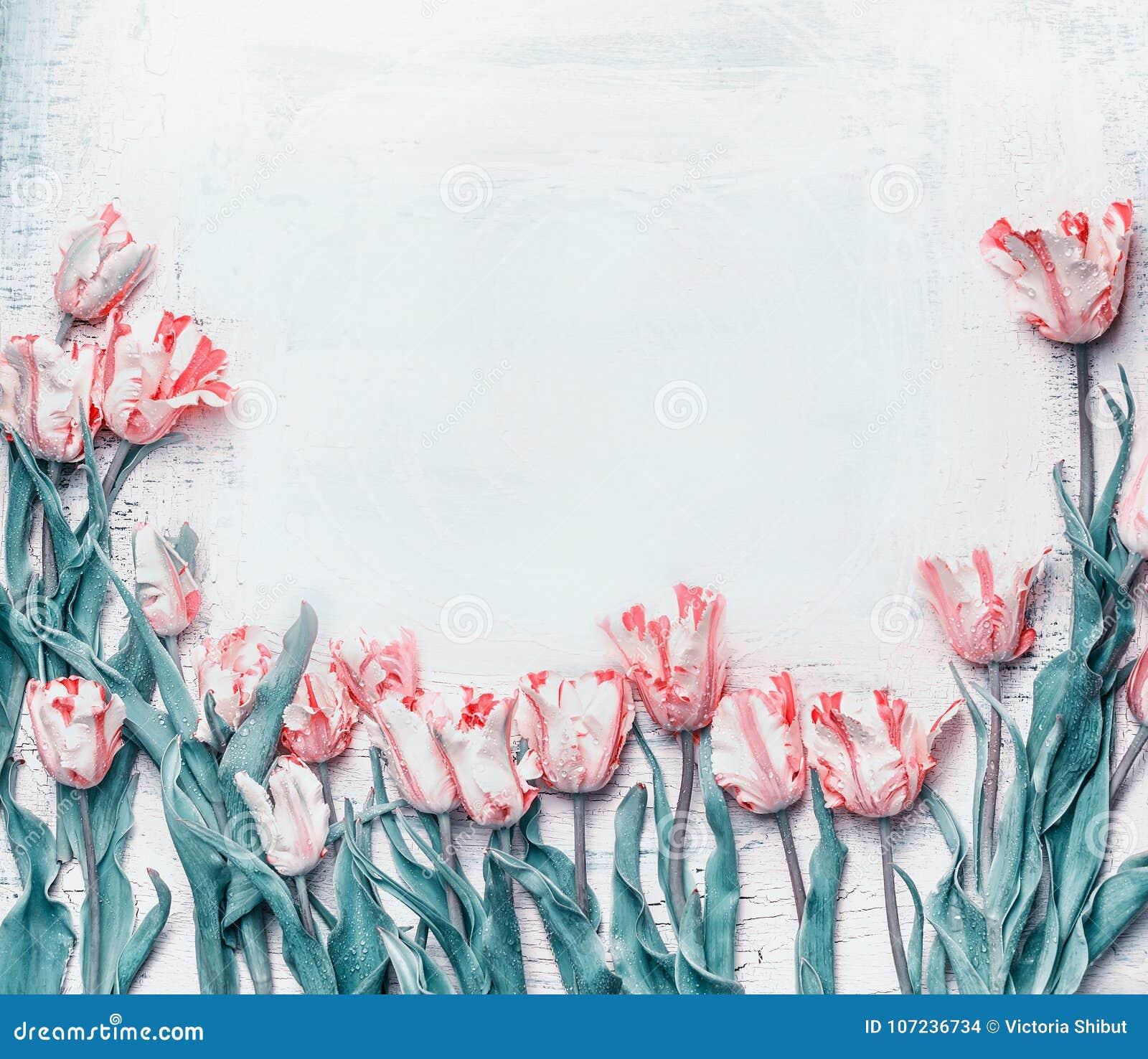 pastel pink tulips border springtime flowers background