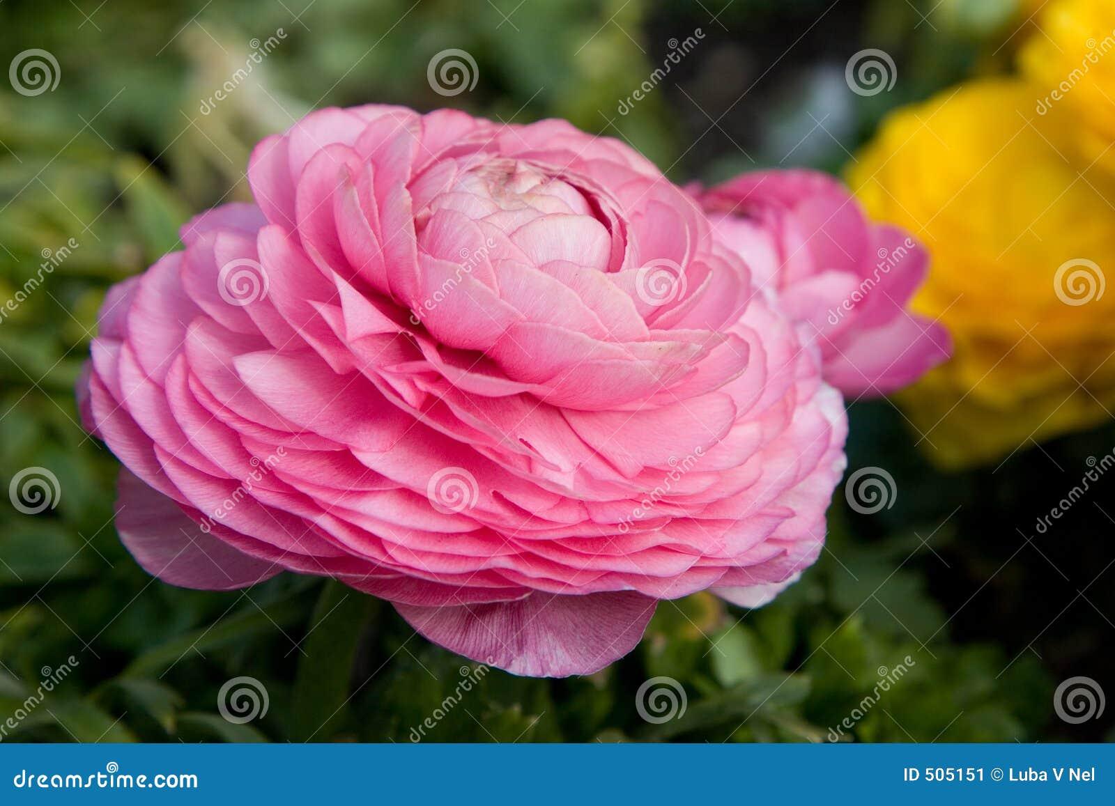 Pastellfärgad rosa vallmo