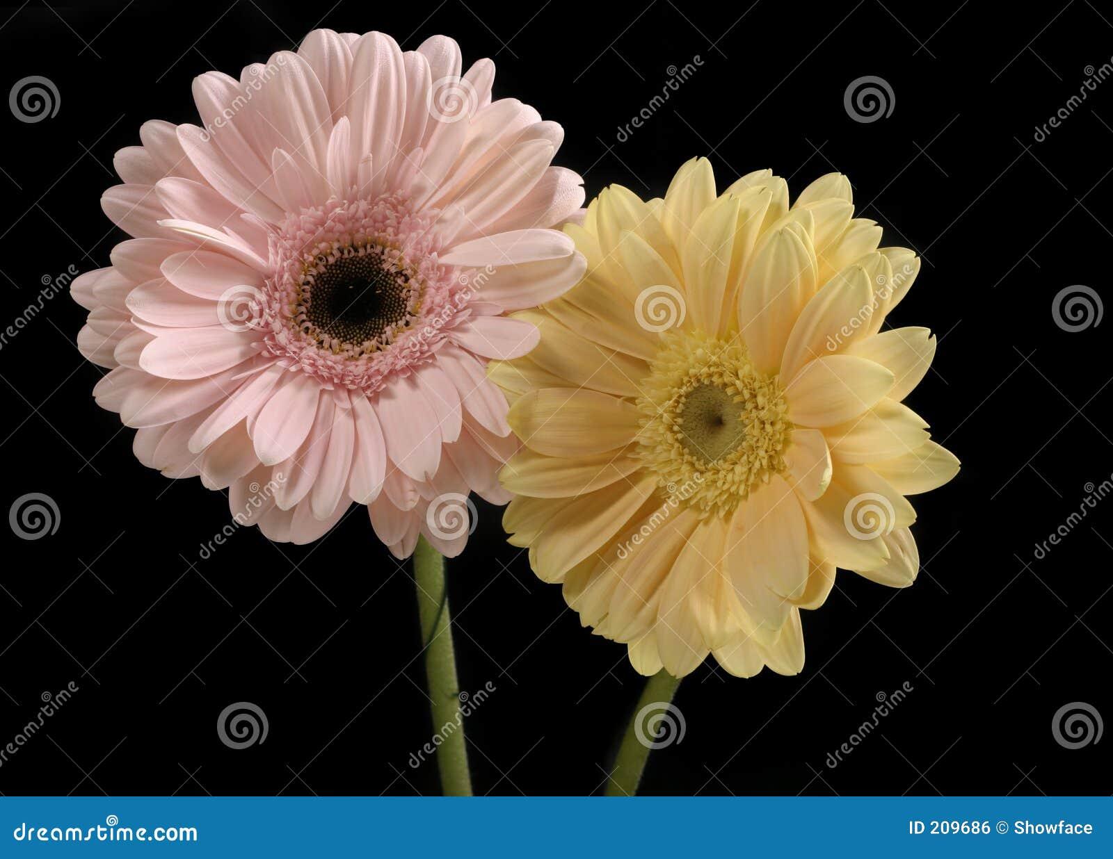 Pastellfärgad rosa yellow för smörgerberas