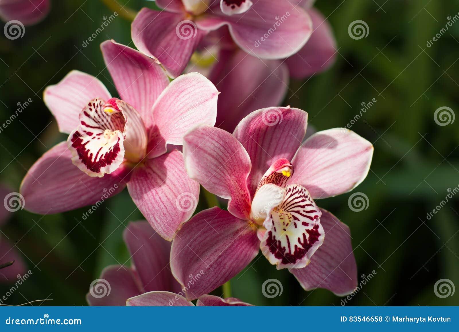 Pastellrosaorchidee mit hellem schönem Kern