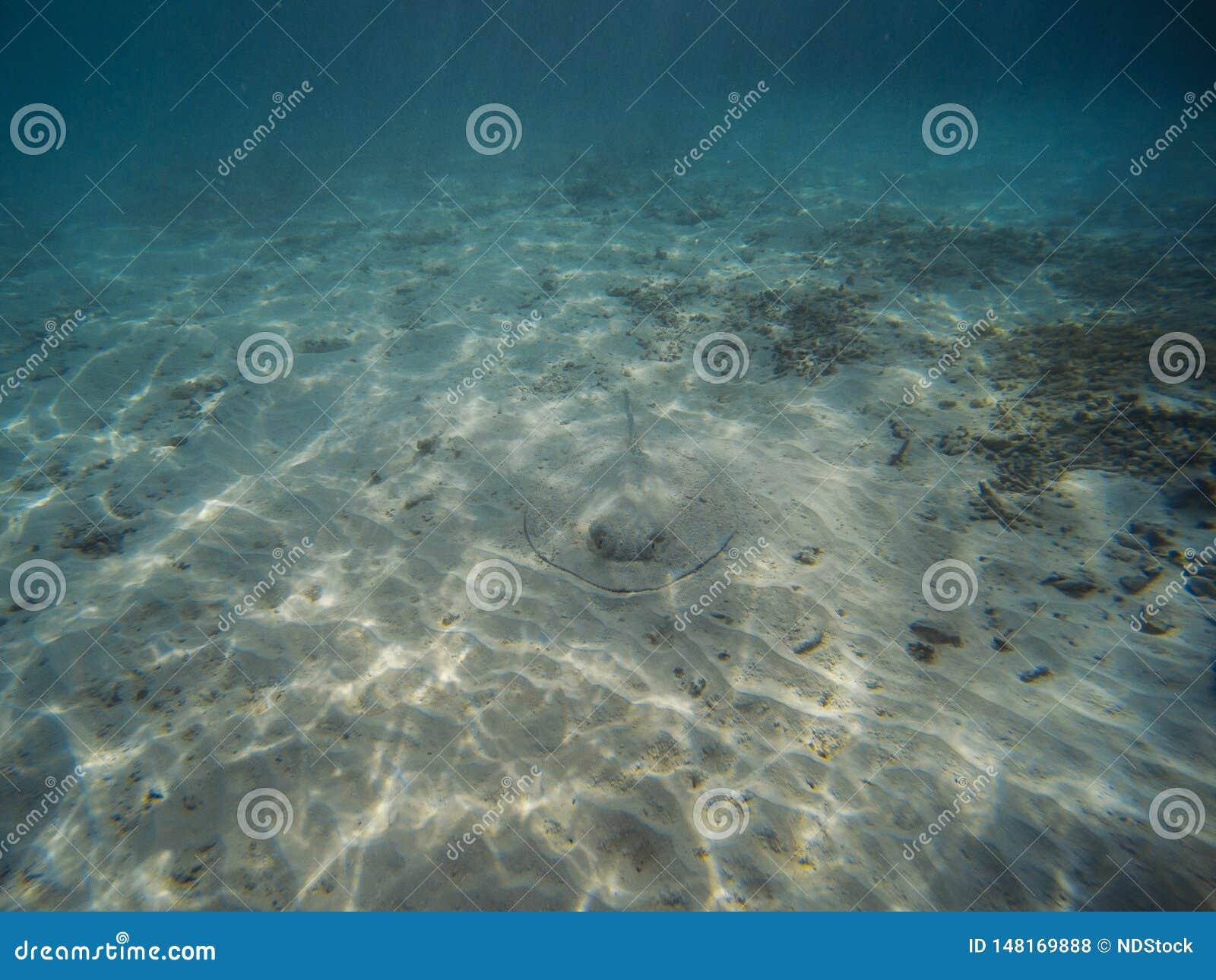 Pastinaca meridional en la orilla de la playa