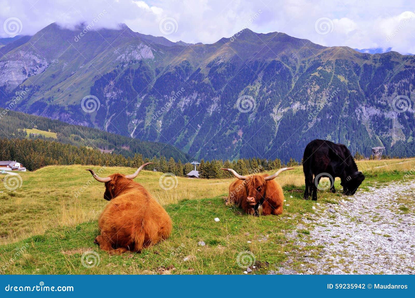 Download Pasto de vacas foto de archivo. Imagen de cielo, cubo - 59235942