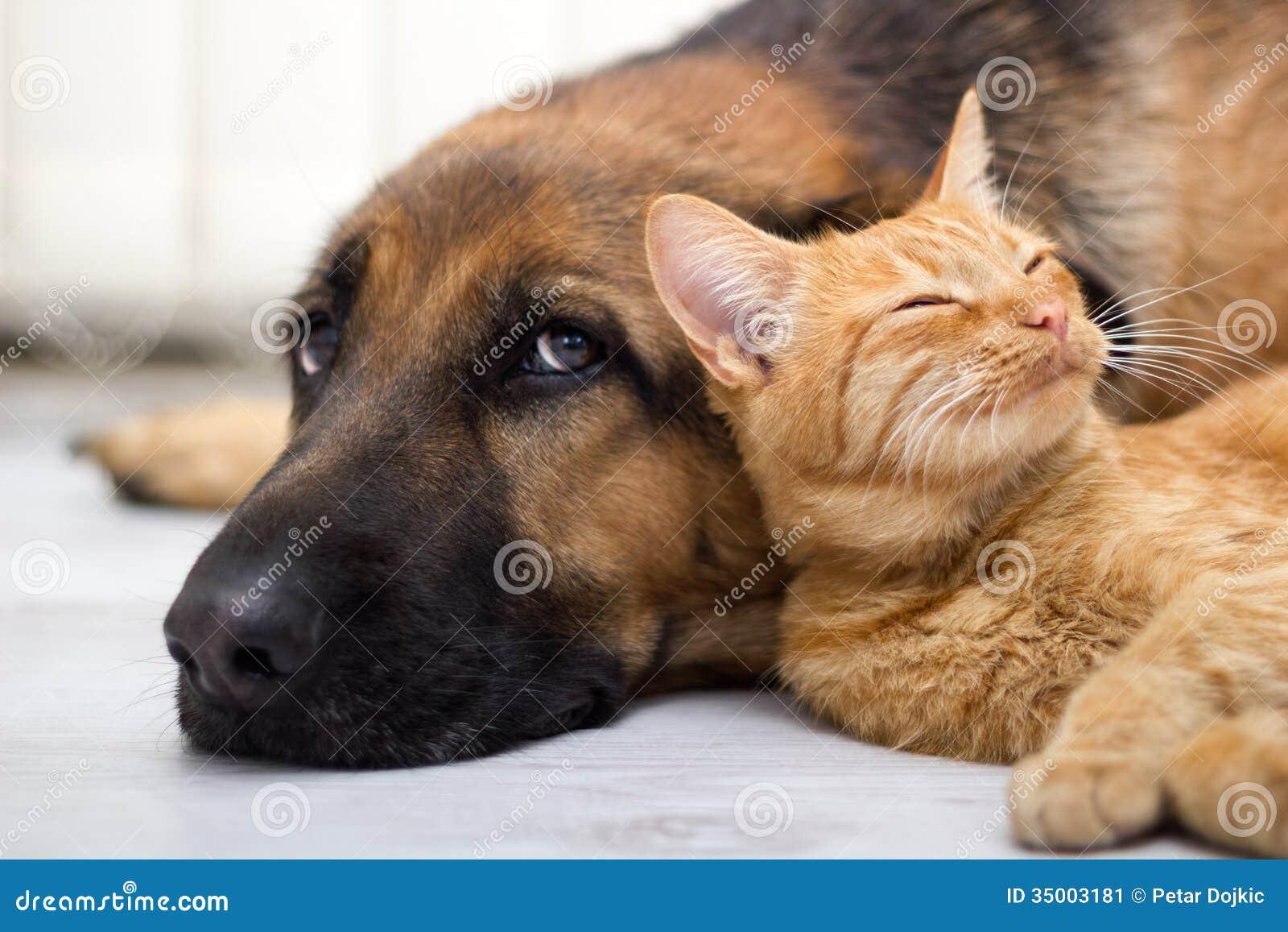 Pastor alemán Dog y gato junto
