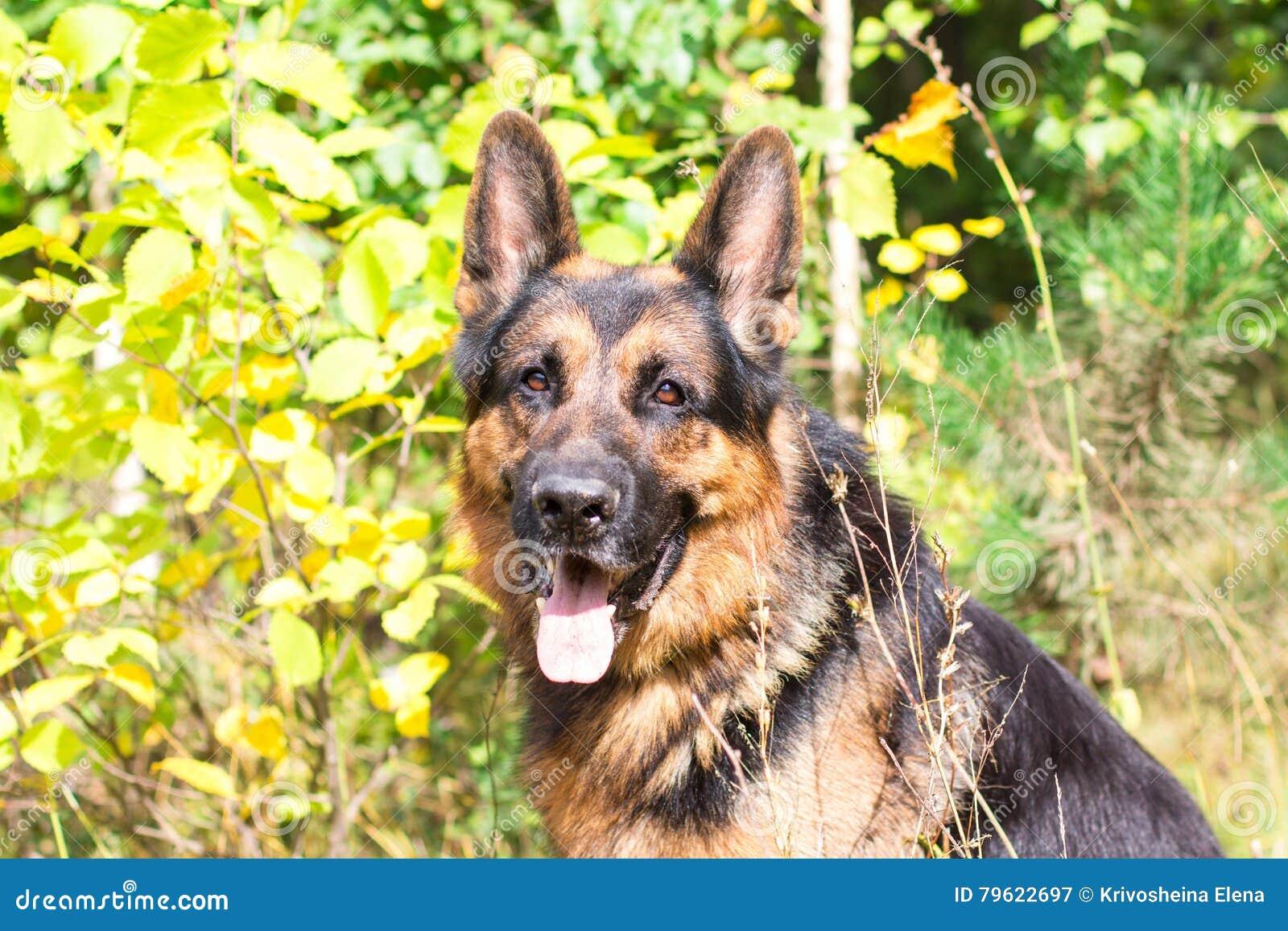 Pastor alemão do cão na floresta