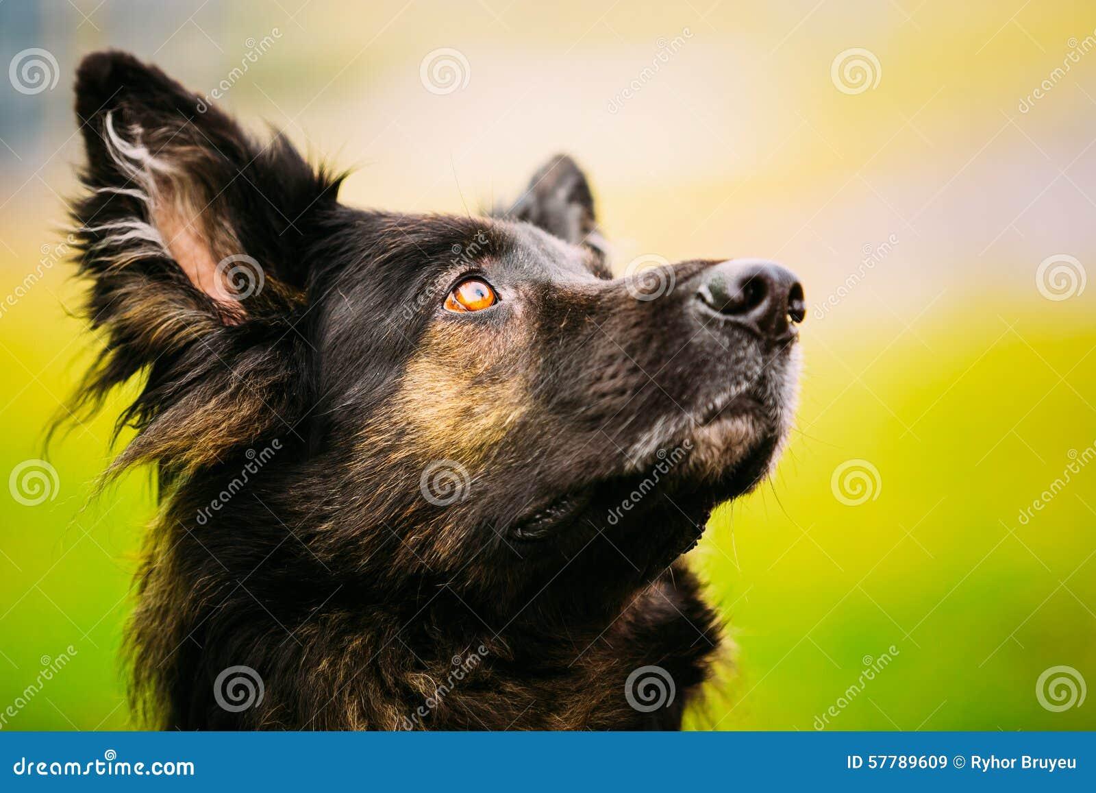 Pastor alemão Dog Close Up