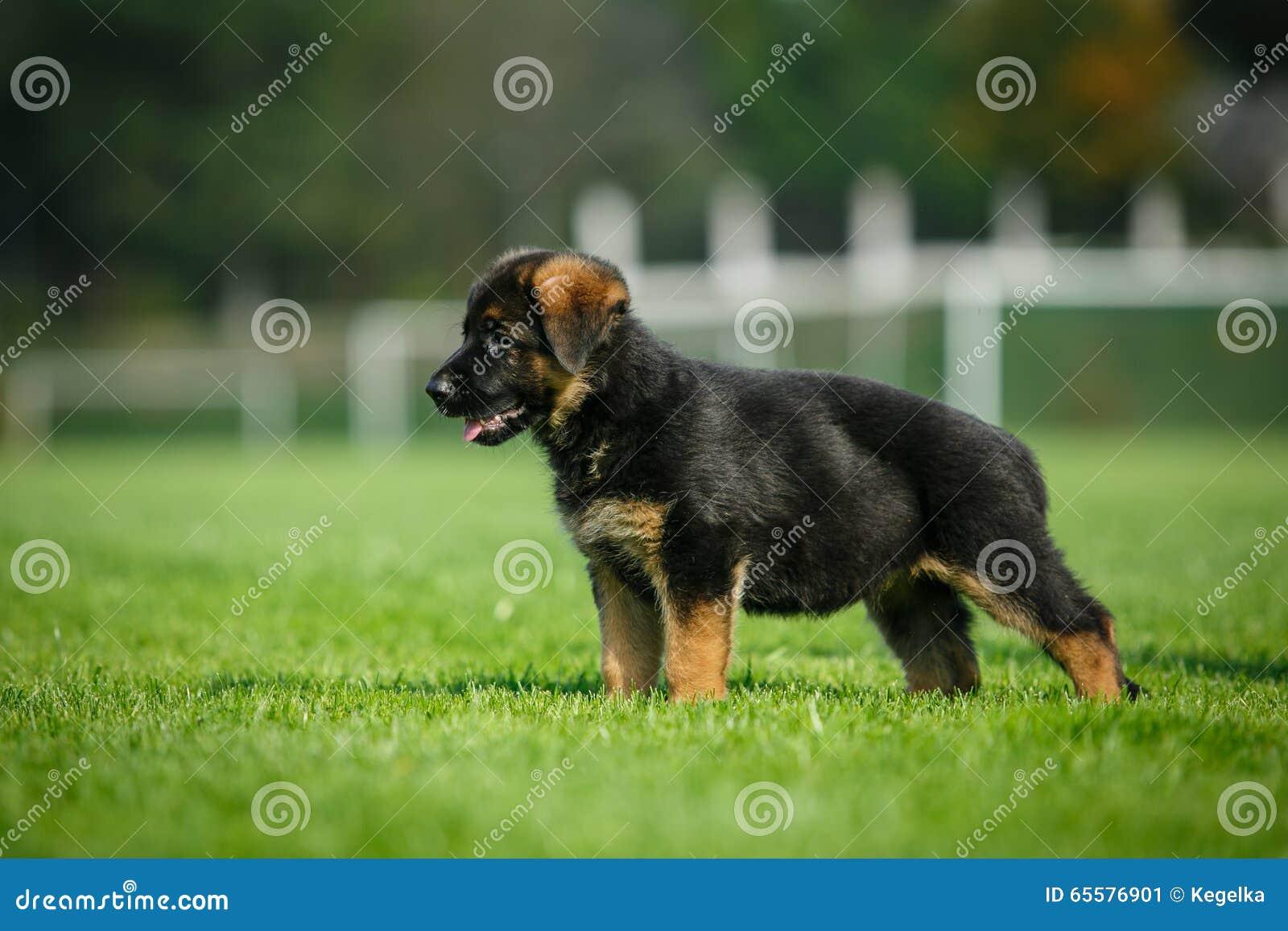 Pastor alemão Puppy