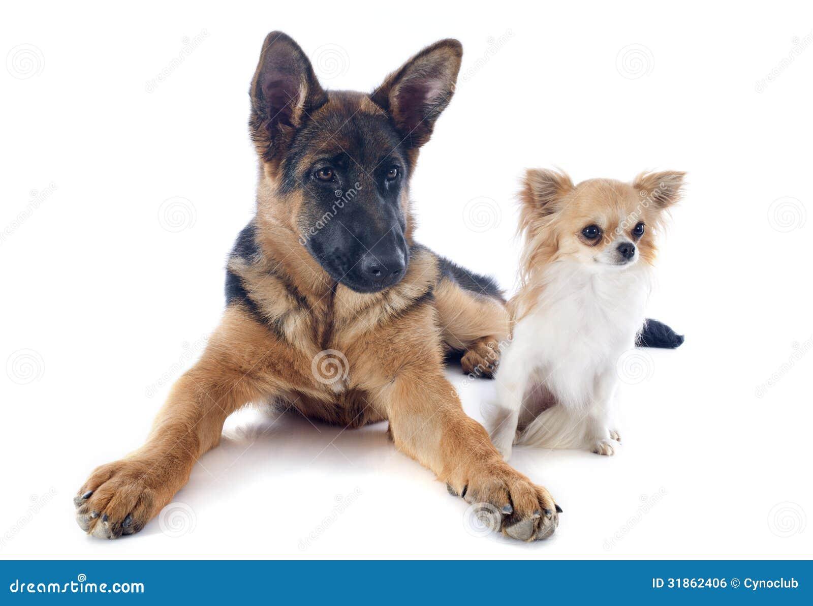 german perrito