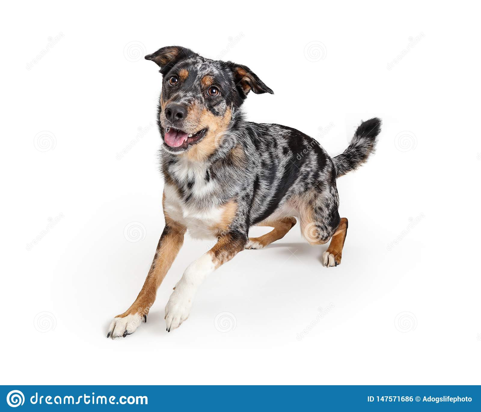 Pastor australiano ativo Crossbreed Dog