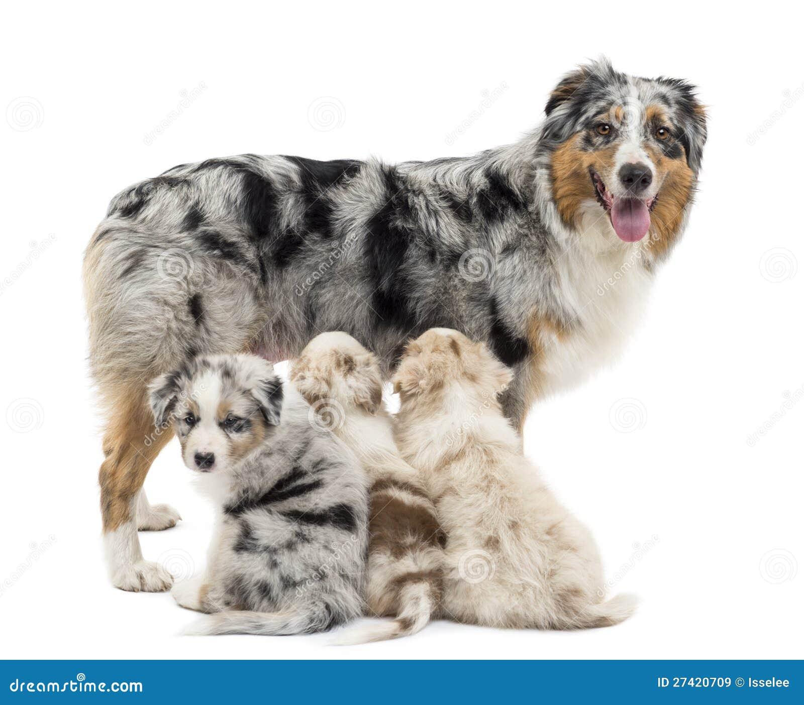 Pastor australiano de la madre con tres perritos