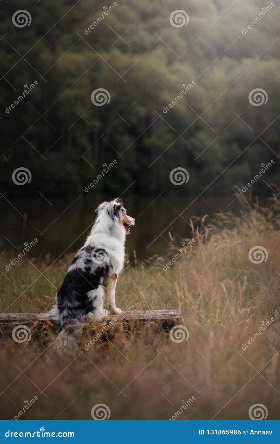 Pastor australiano del perro que se sienta en un banco Animal doméstico en naturaleza Humor del otoño