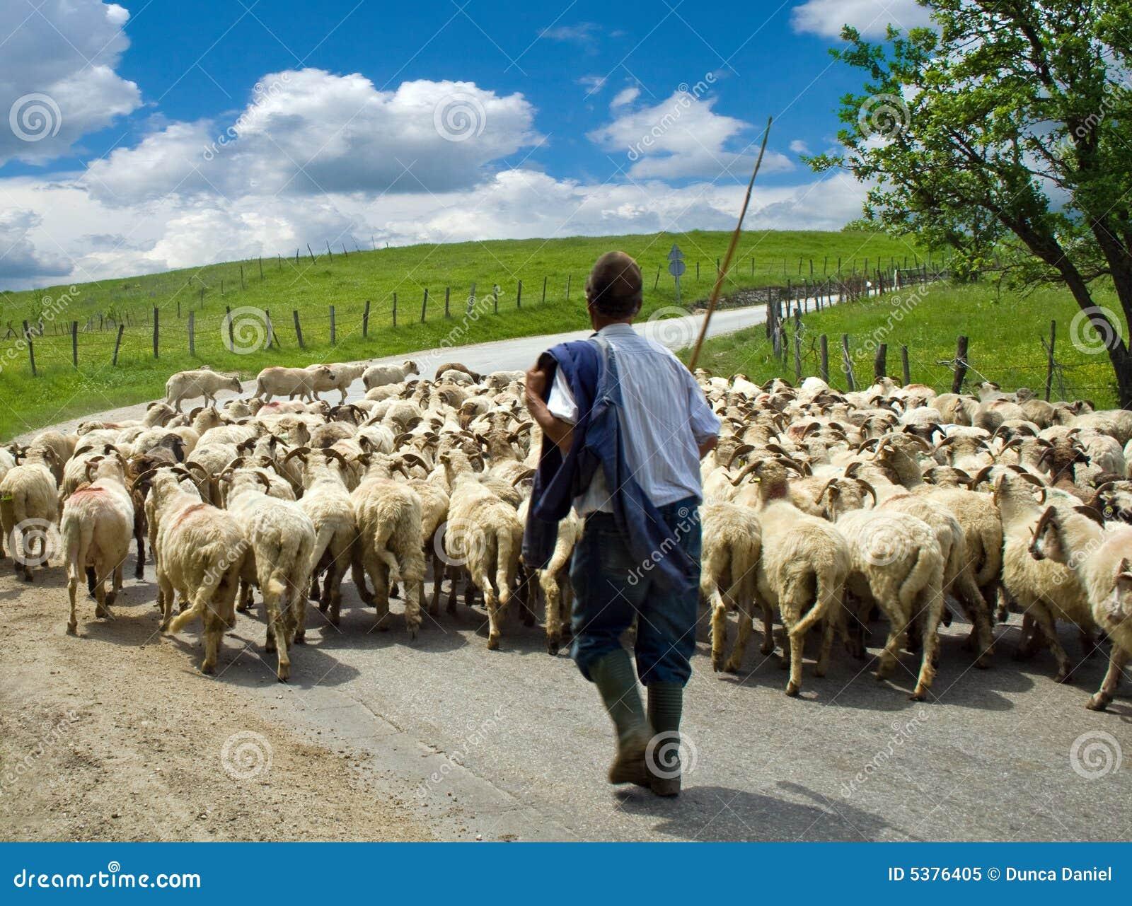 Pastor con su manada de las ovejas