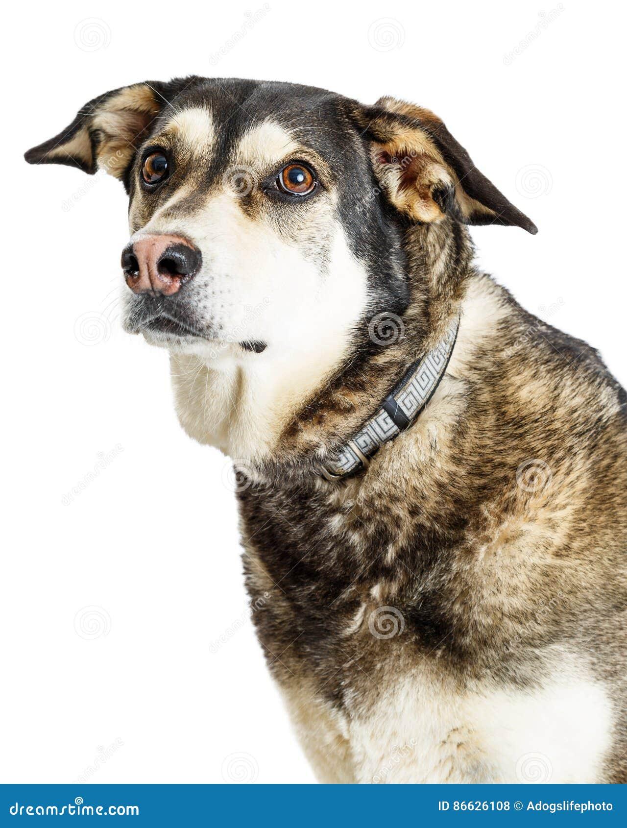 Pastor Crossbreed Dog do retrato do close up