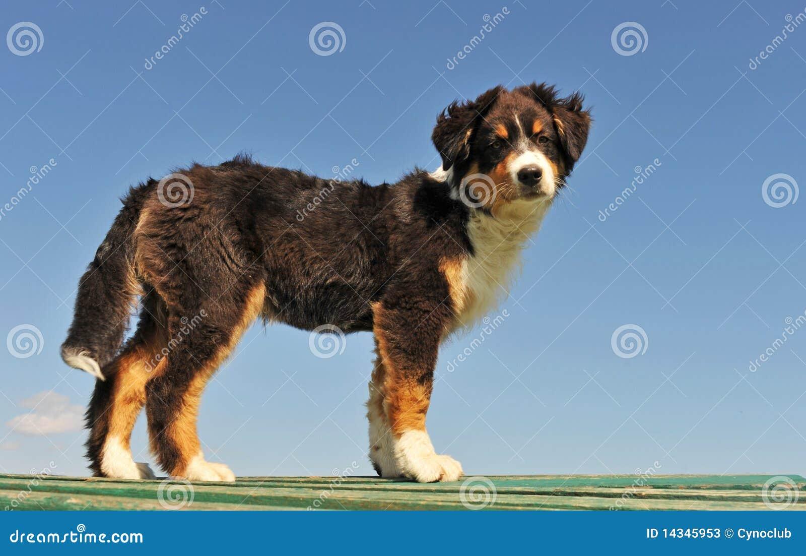 Pastor do australian do filhote de cachorro