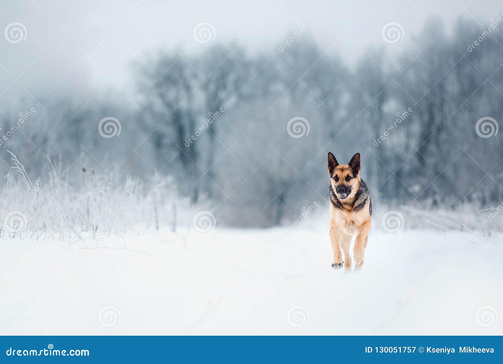 Pastor europeu do leste bonito no snowingf o mais orest no inverno