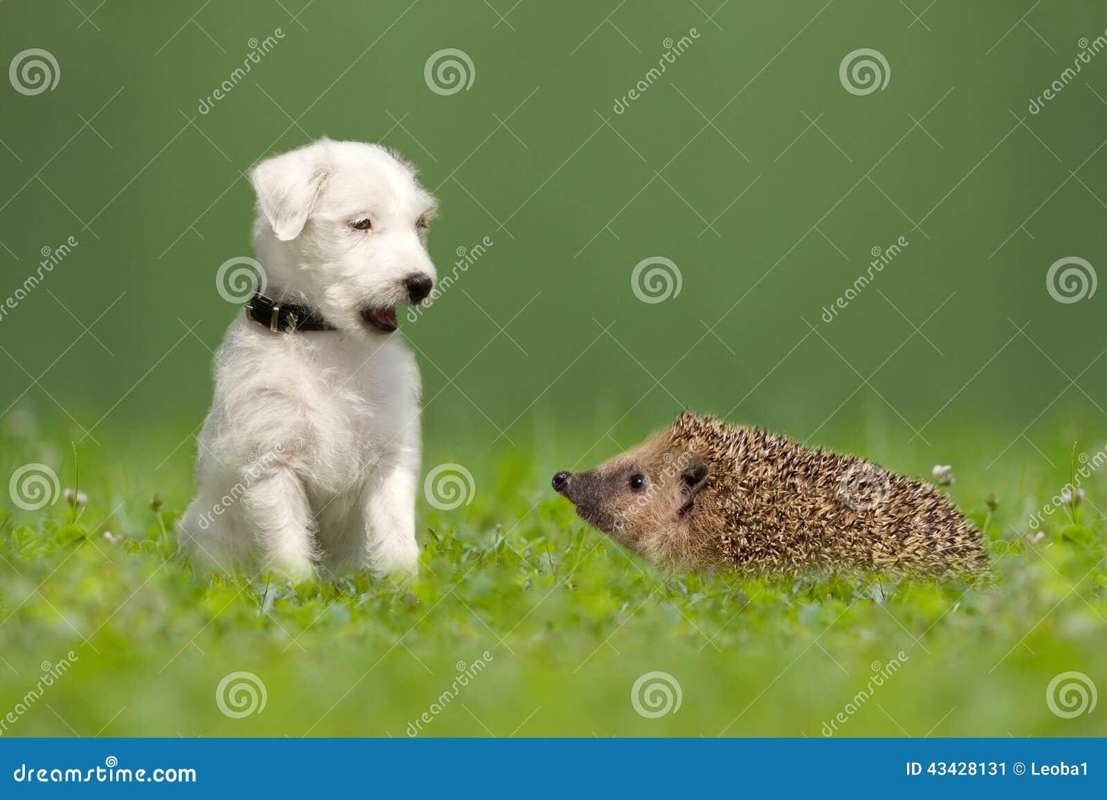 Pastor Jack Russell Terrier und Igeles