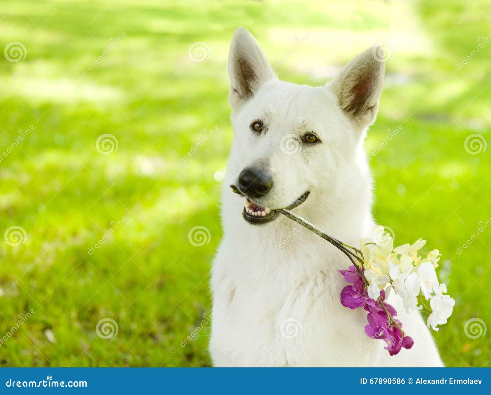 Pastor suíço branco do puro-sangue do close up que guarda a flor em seu mout