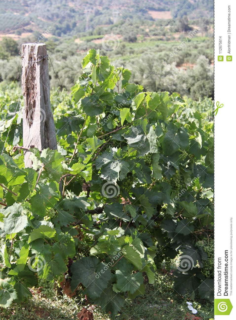 Pastoral Vine Yard Stock Photo Image Of Grape Plants 112675614