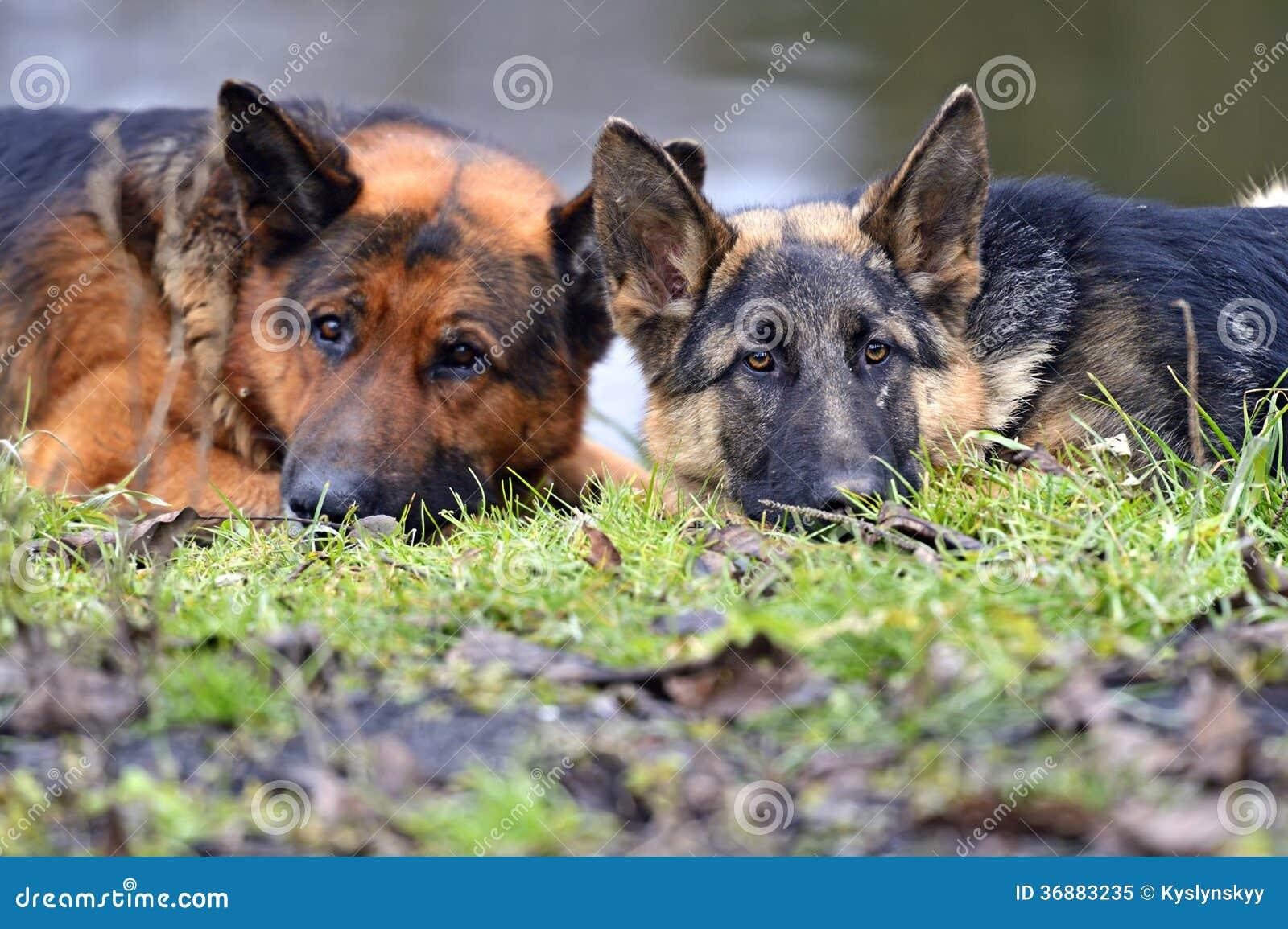 Download Pastore immagine stock. Immagine di cane, habitat, nave - 36883235