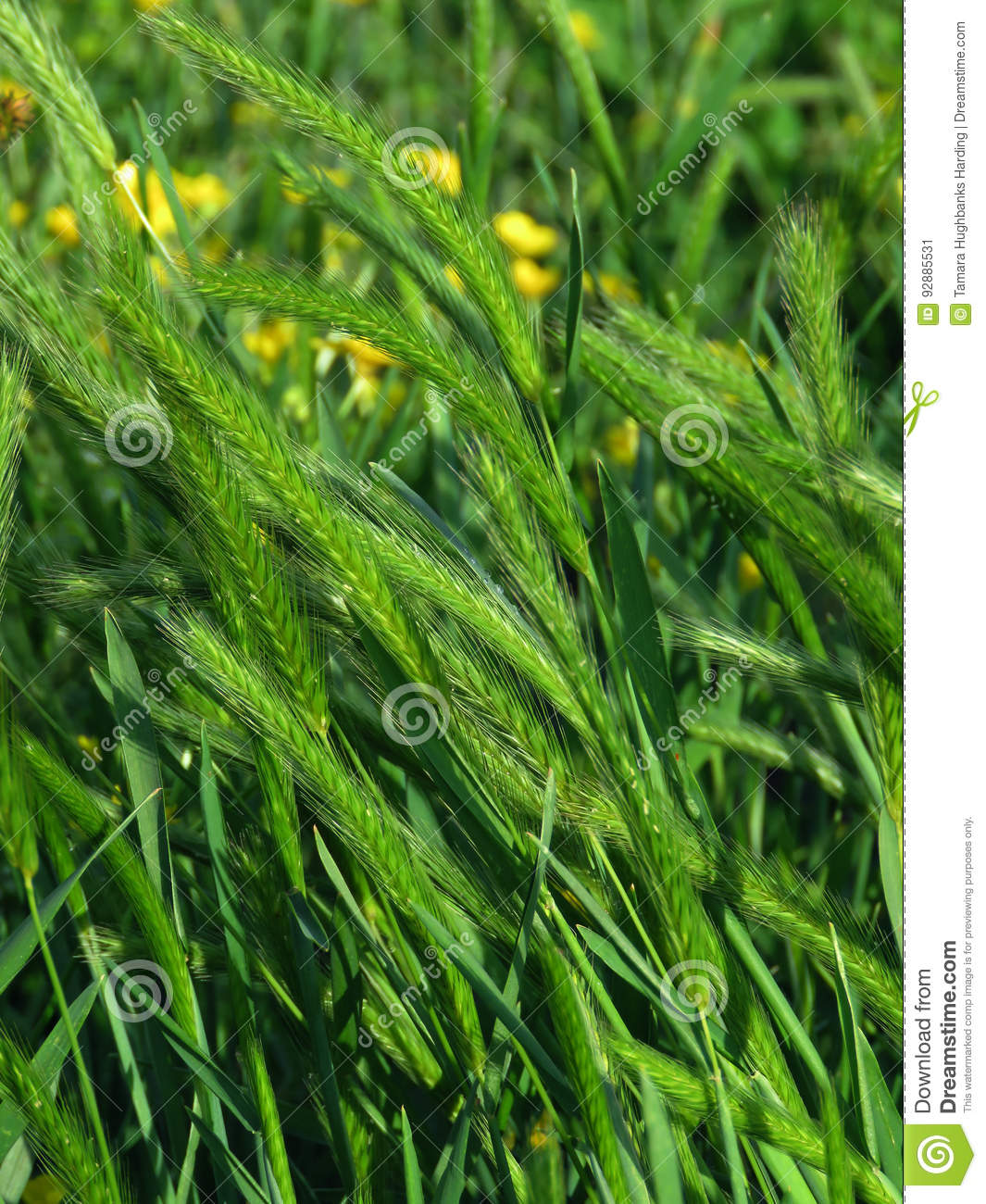 Pasture grass, closeup, with yellow flowers