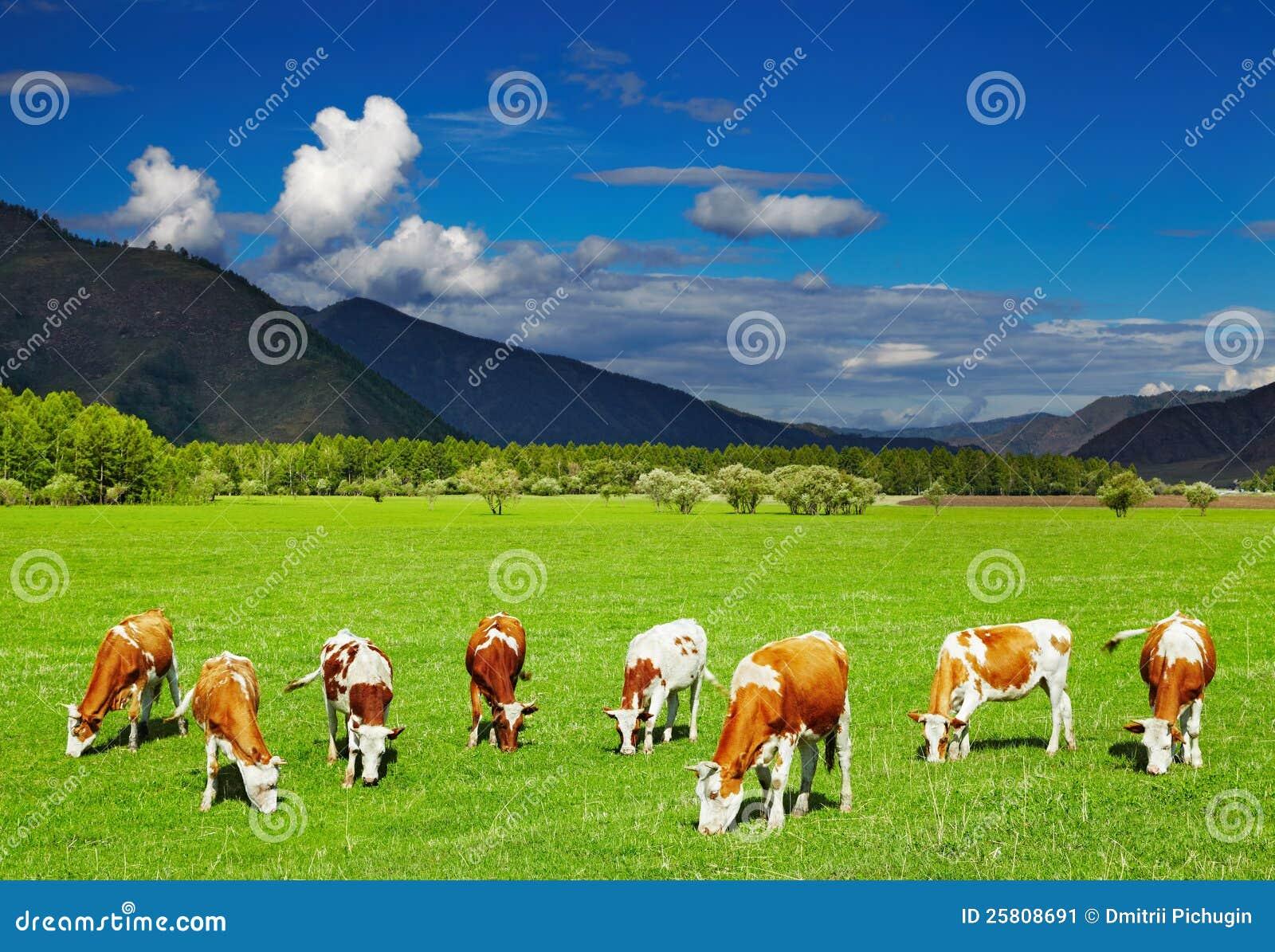 Pastwiskowe krowy