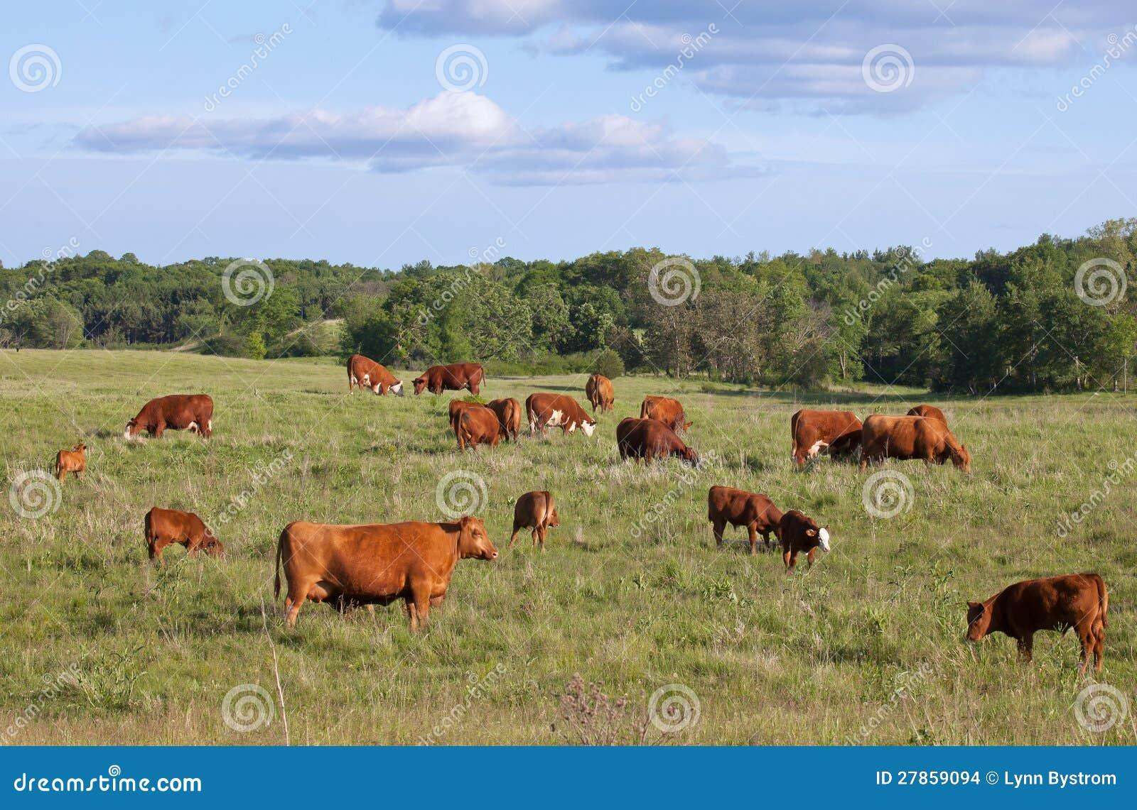 Pastwiskowe Krowy i Łydki
