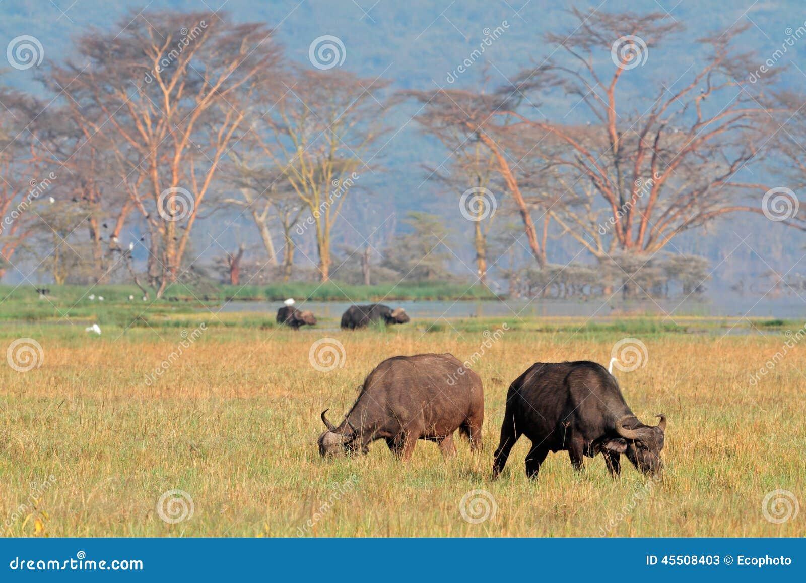 Pastwiskowi Afrykańscy bizony