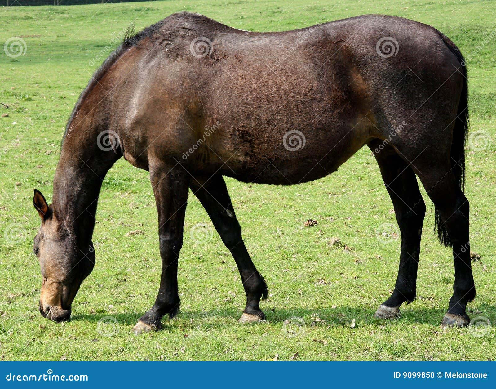 Pastwiskowy koń