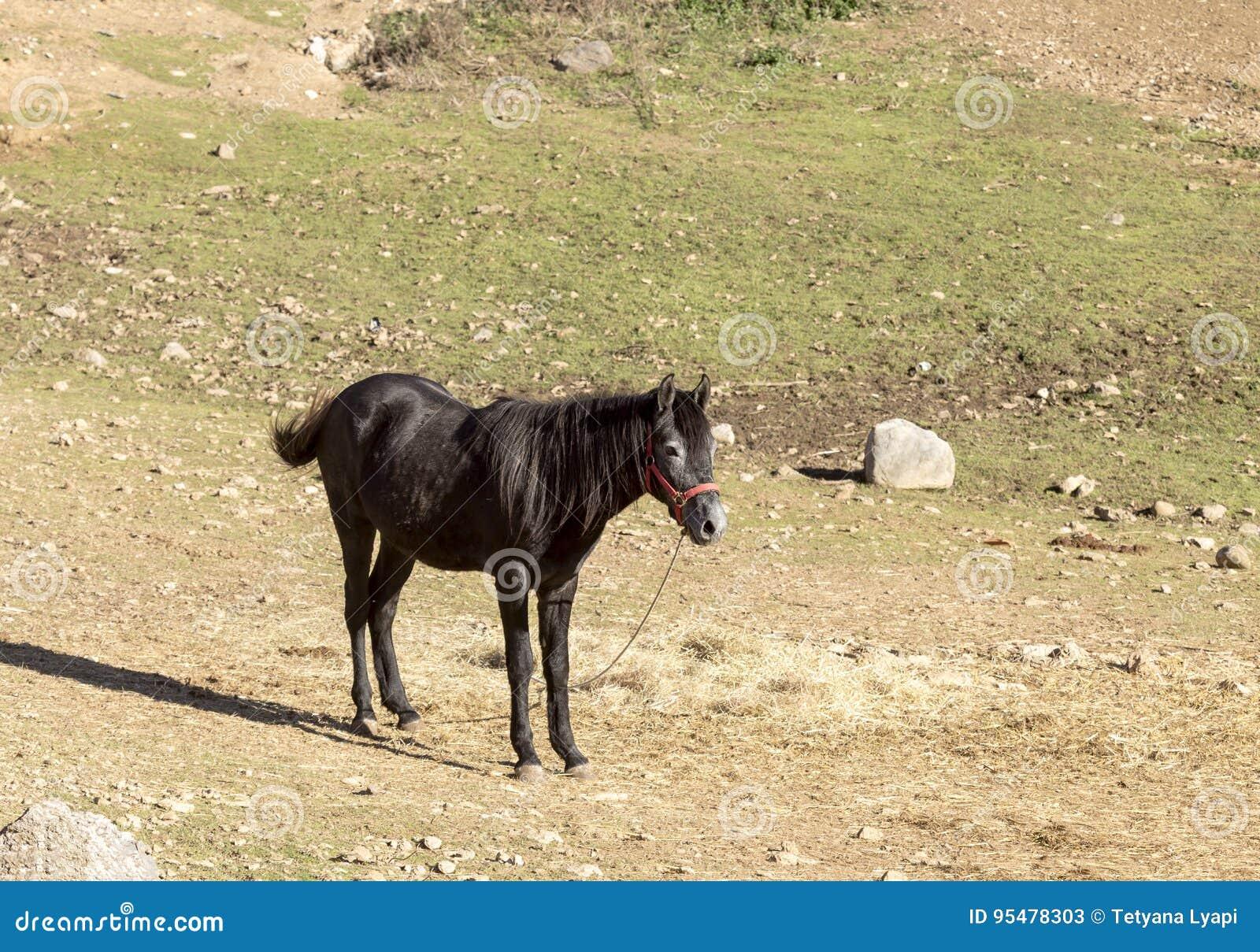 Pastwiskowy muł