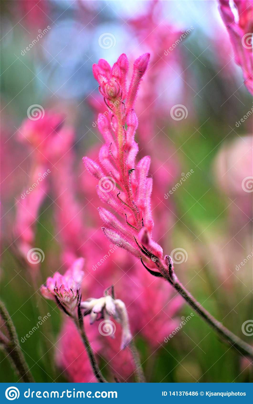 Pata de canguro rosada