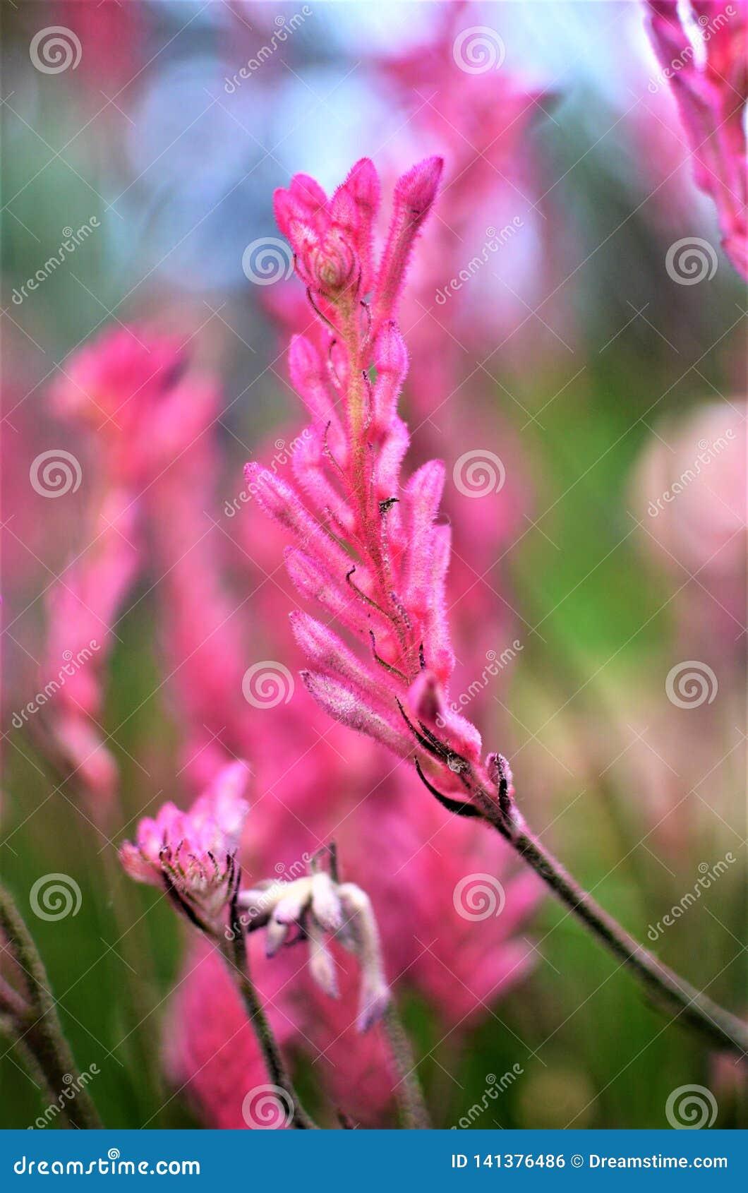 Pata de canguru cor-de-rosa