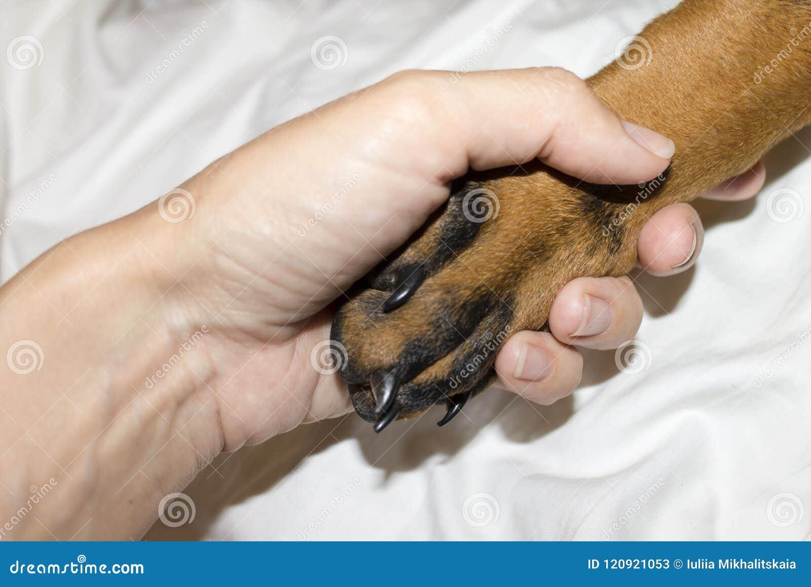 Pata del negro del perrito del Doberman con las garras en primer humano de la mano