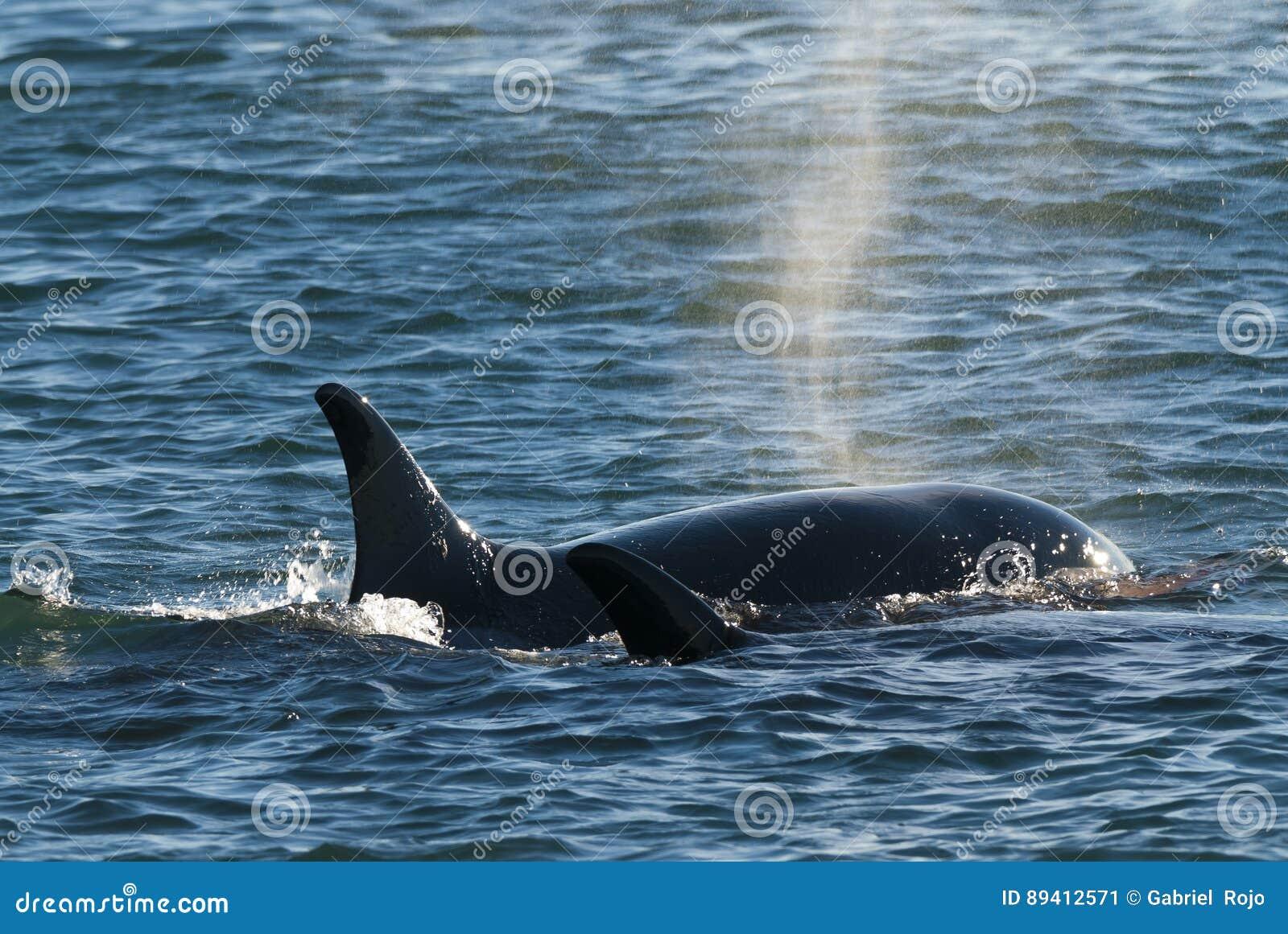 Patagonia Argentina da baleia