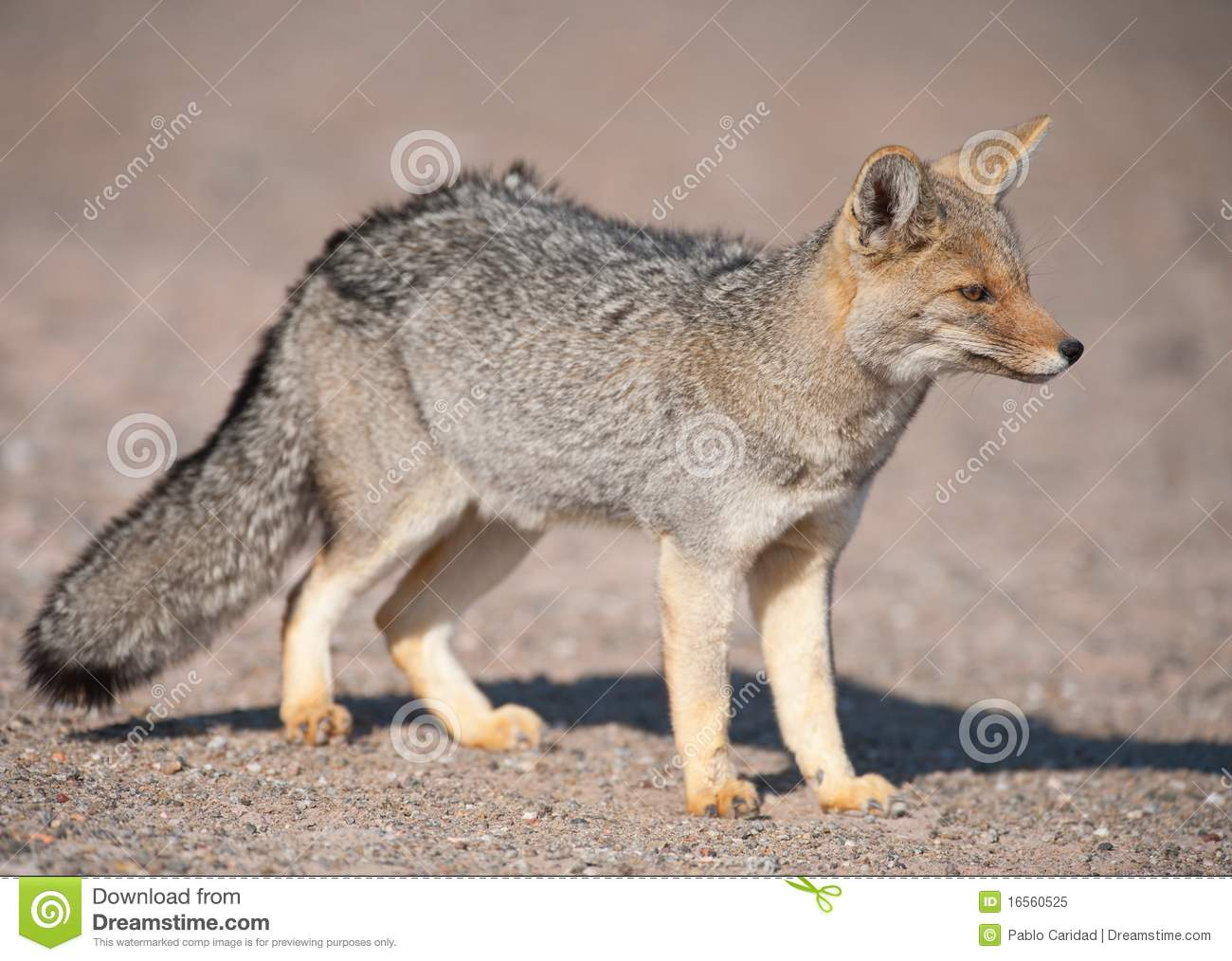 patagonian grey fox dusicyon culpaeus royalty free stock