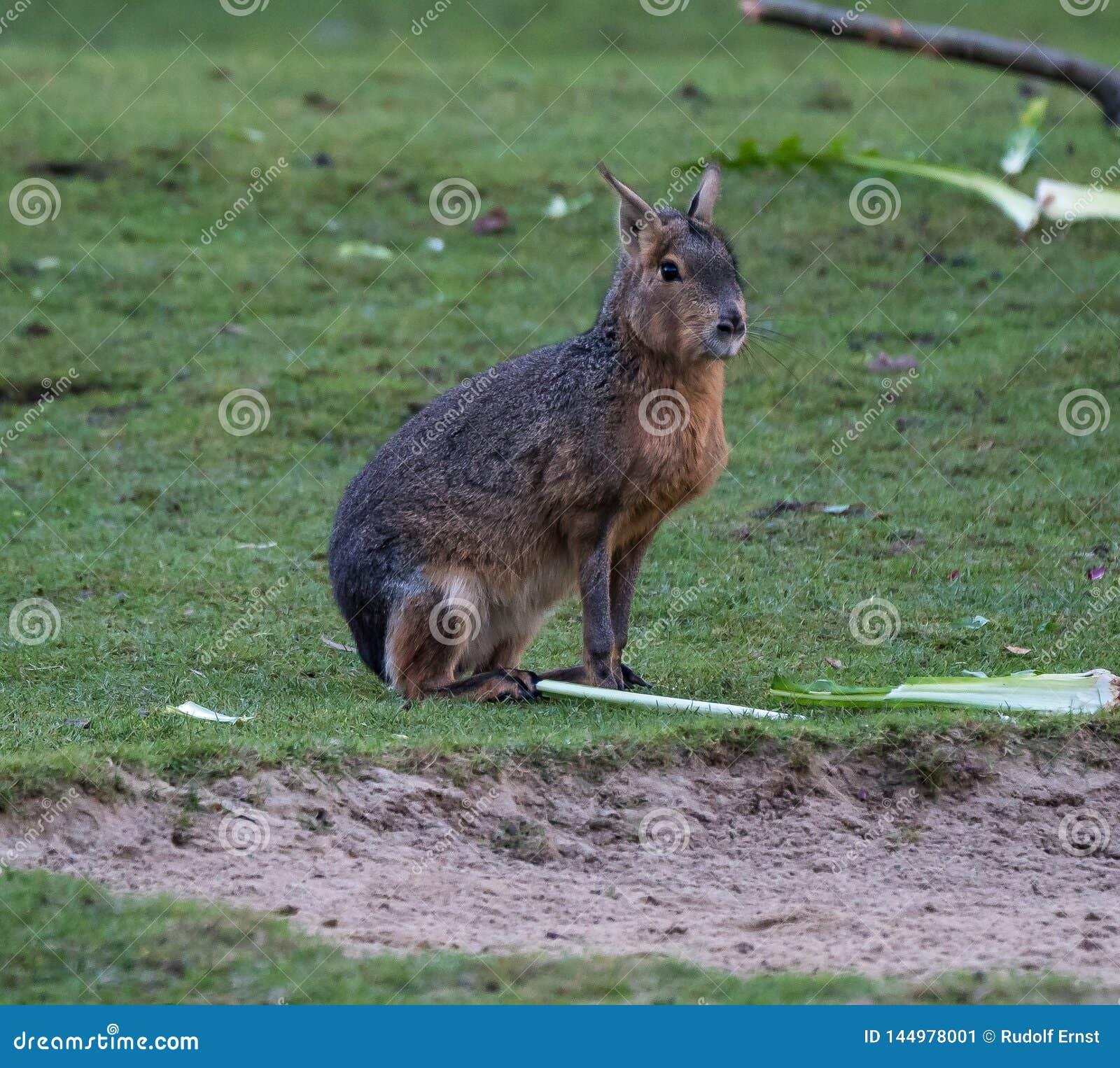 Patagonian Mara, Dolichotis patagonum are large relatives of guinea pigs