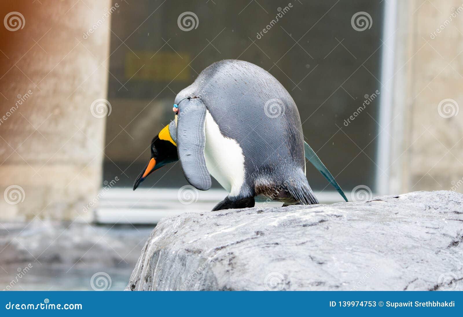 Patagonicus du Roi Penguin Aptenodytes prêt à sauter dans l eau