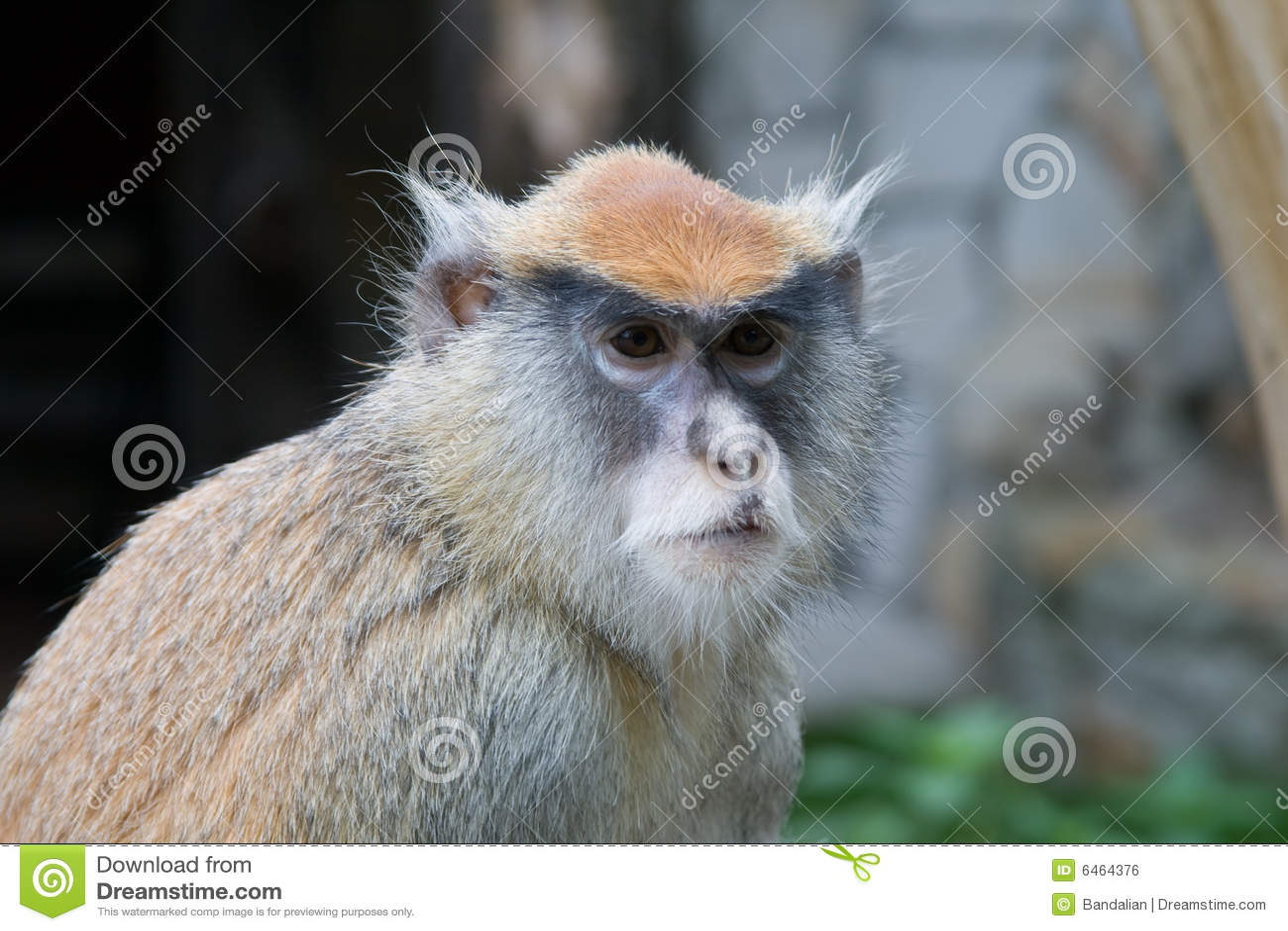 Patas обезьяны